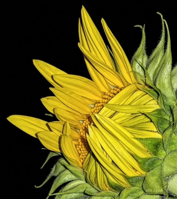 First Sunflower  by Al Ballard