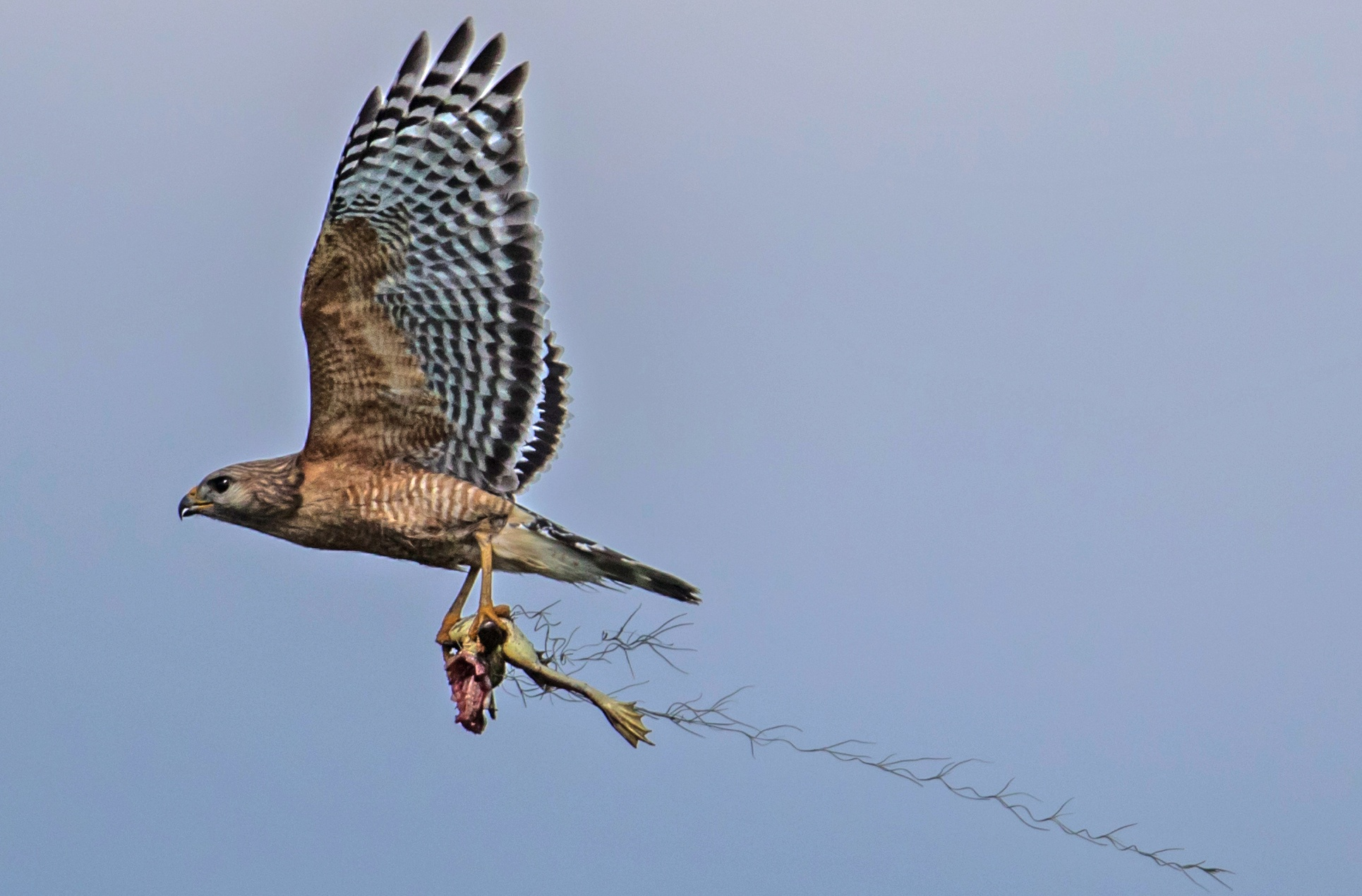 Red Shoulder Hawk with dinner by dv613