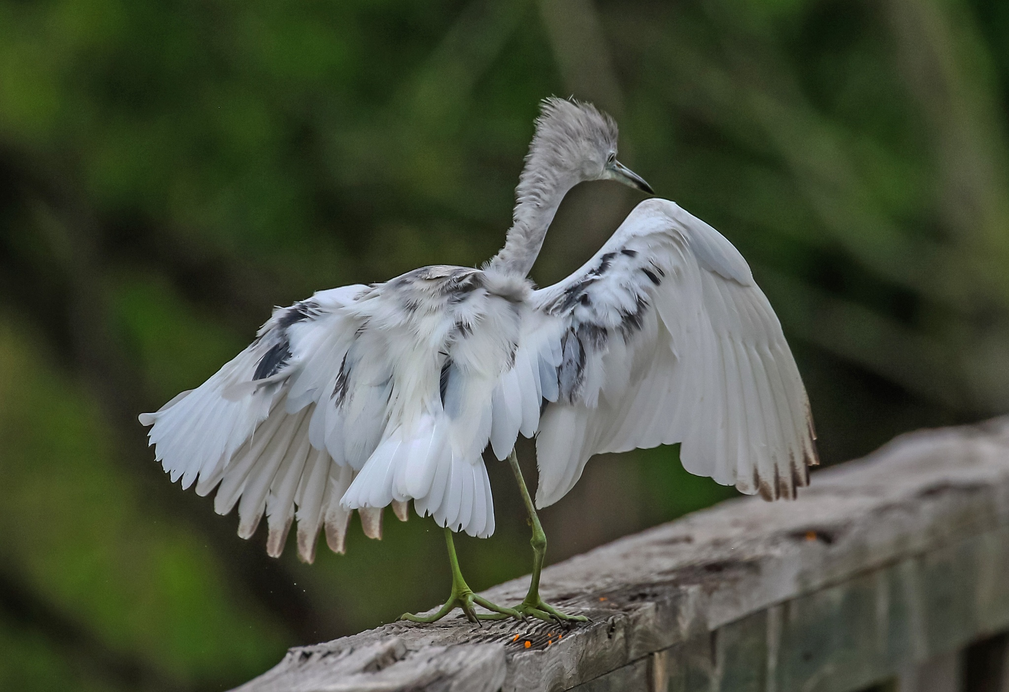 Juvenile little blue heron in need of cab by dv613