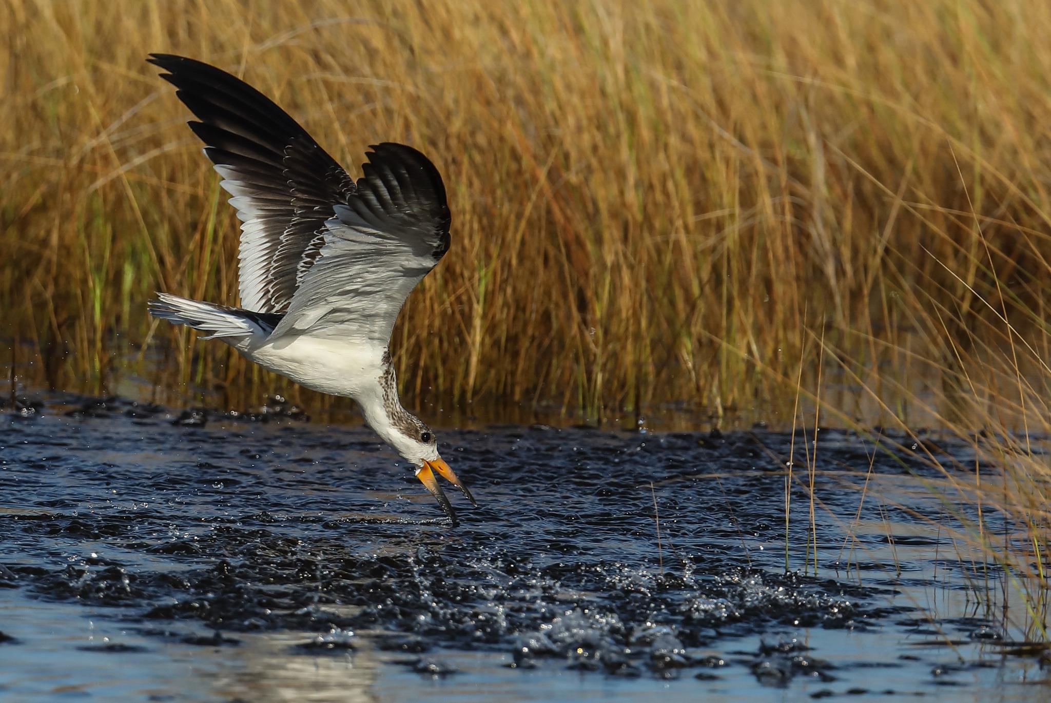 Photo in Animal #animal #bird #skimmer #nature #wildlife