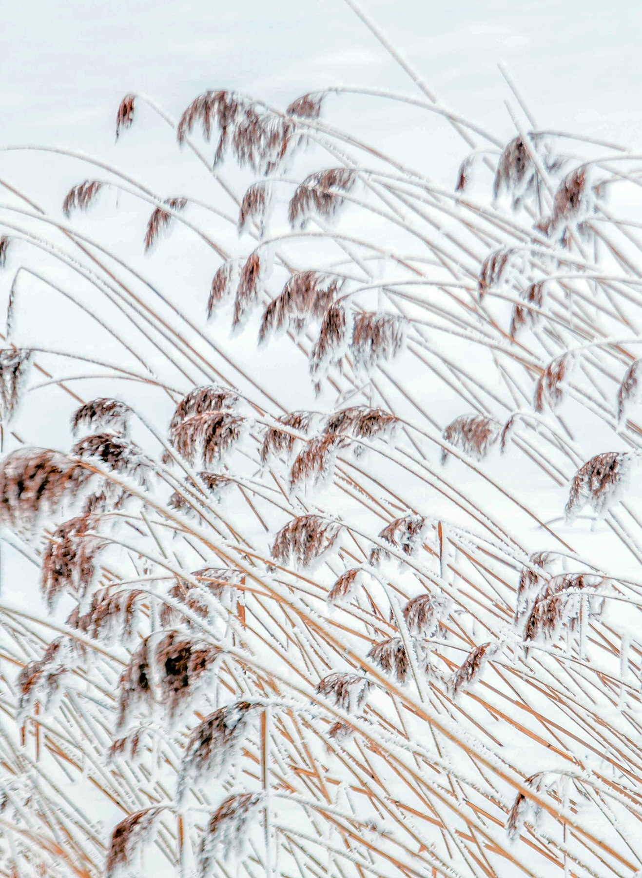 Winter reed by elisah