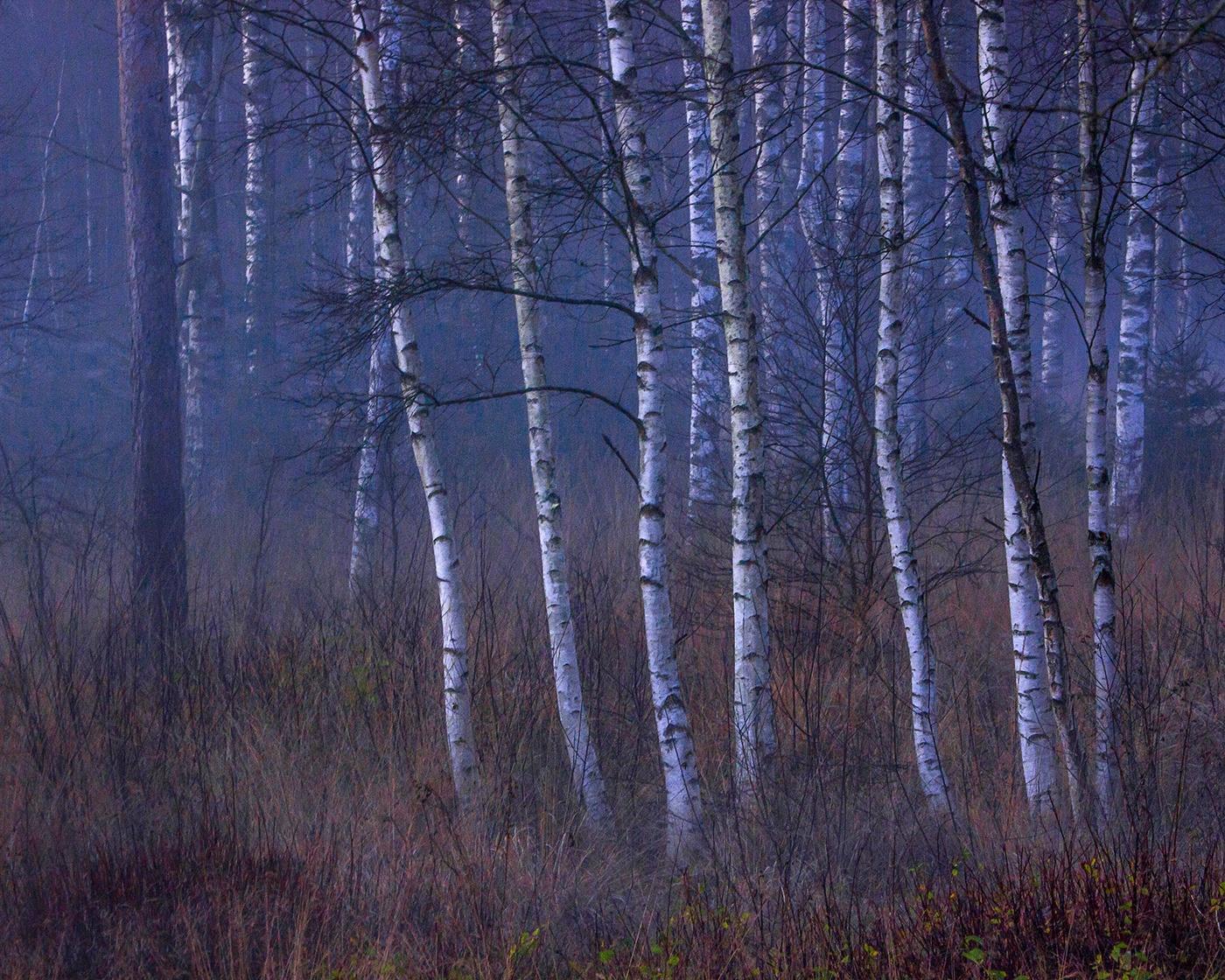 Birch grove by elisah