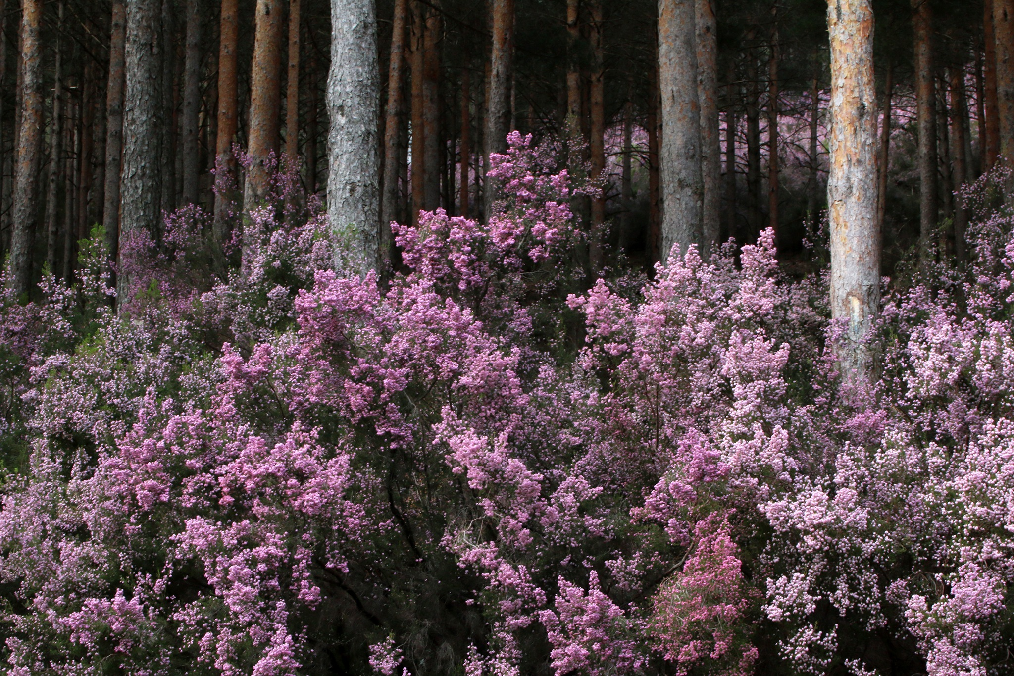Mountain heather by elisah