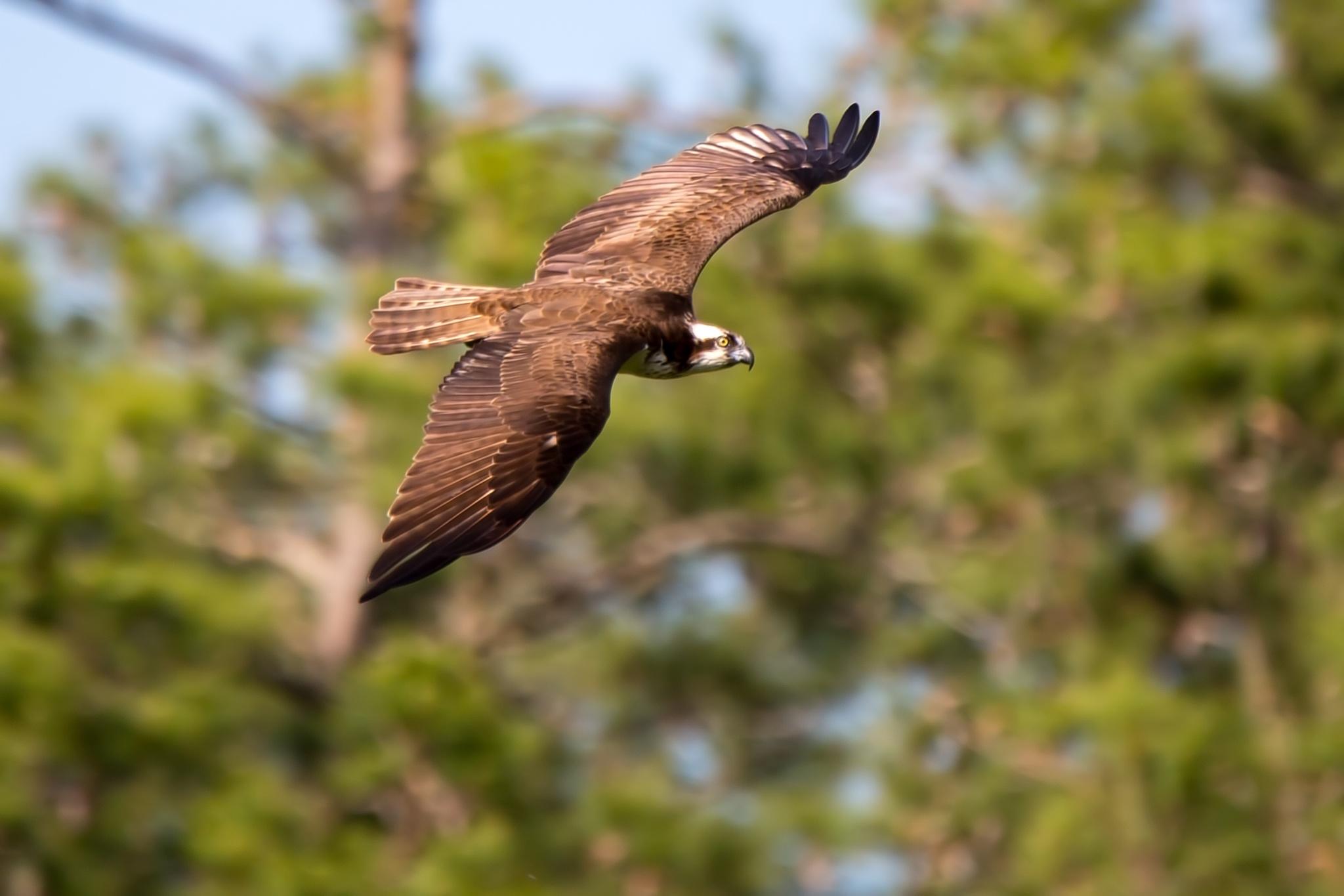 Photo in Nature #bird #birds #osprey #eagle #fish eagle #bird of prey #wildlife #raptor