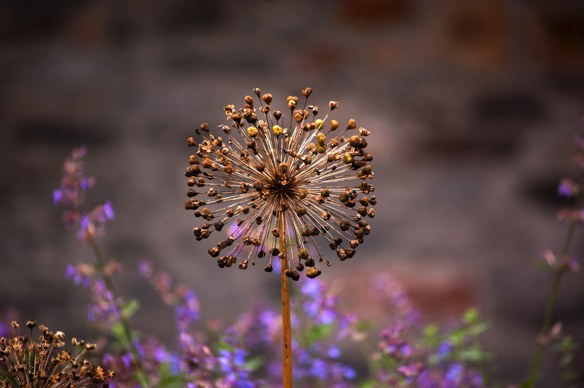 A seed head by edwinphillips