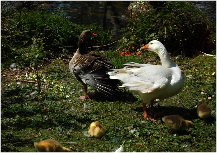 mam dad and chicks by edwinphillips