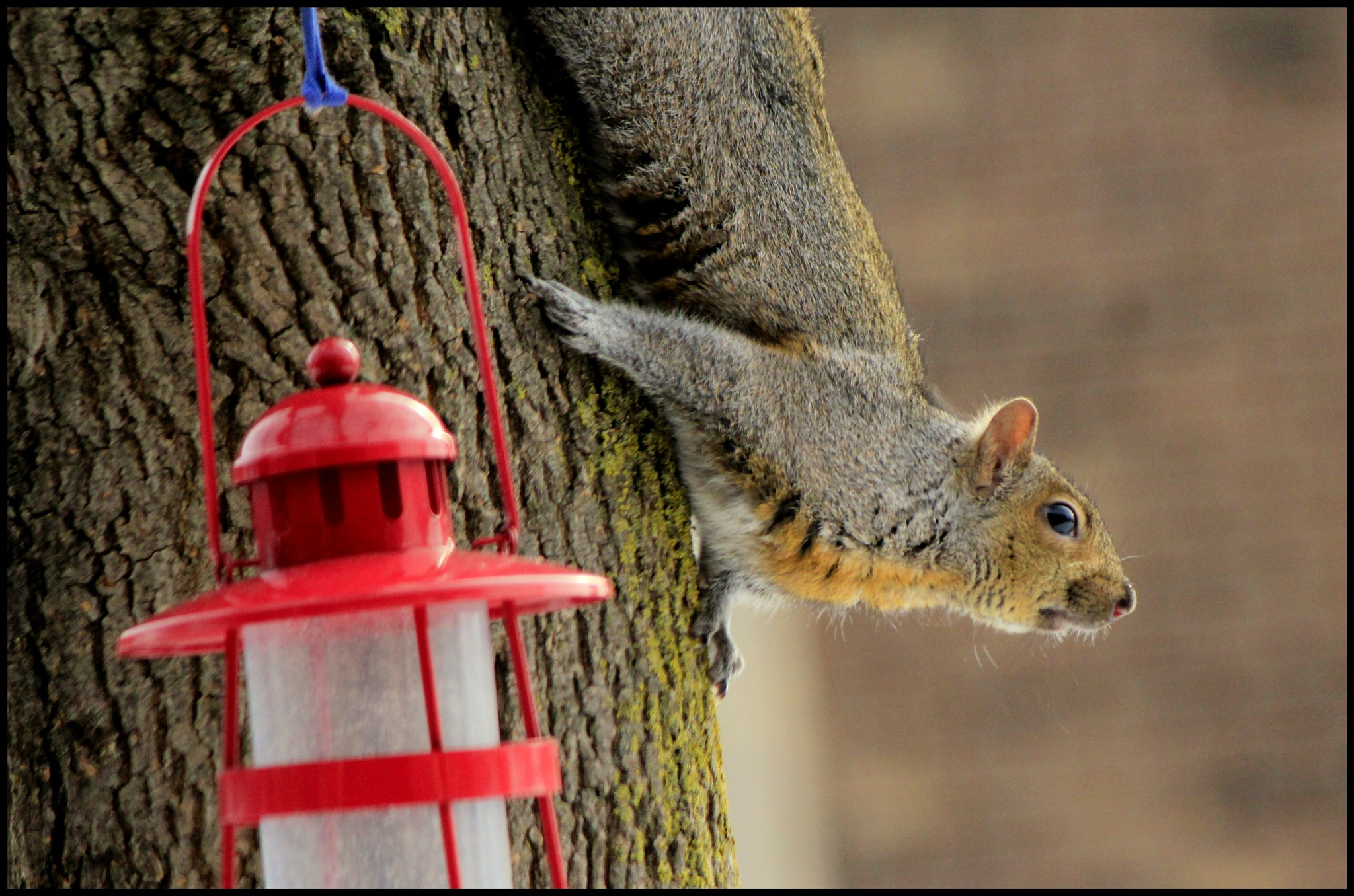 Squirrel  by Krishna Kavi