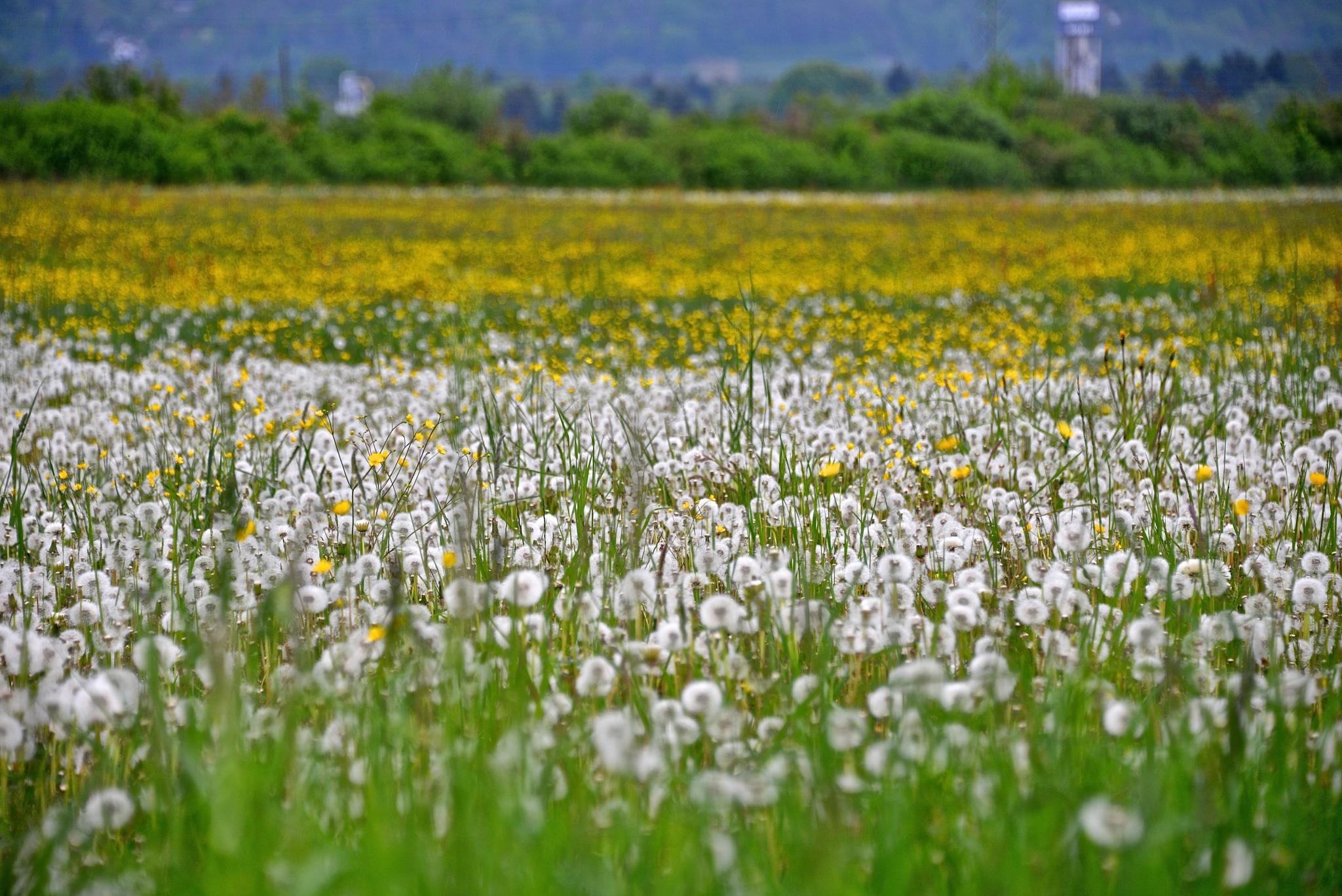 Taraxacum officinale, the common dandelion by Buki