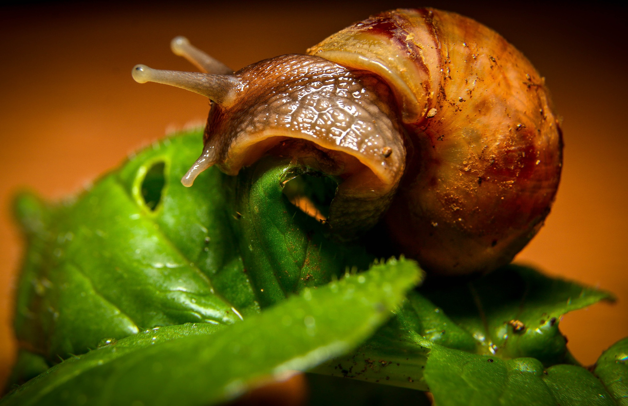snail closeup by irfanbissessur