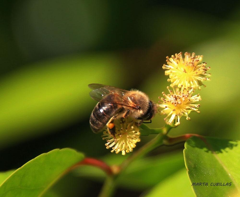 Preparing honey by cubillasm