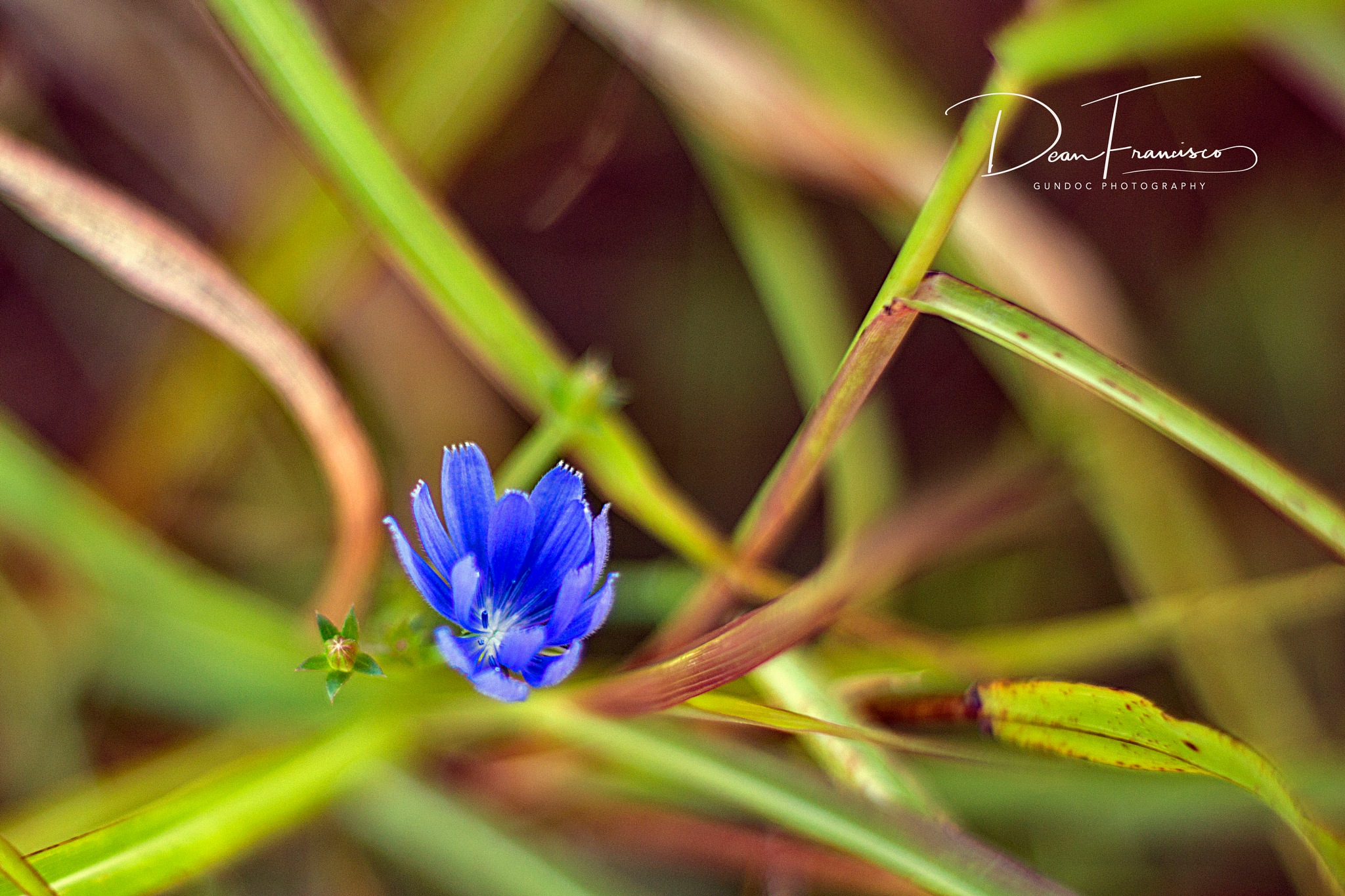 Very Small Blue wild Flower by Dean Francisco