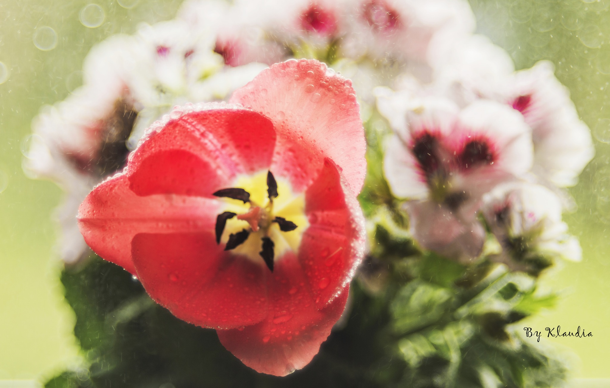 Tulipan  by Klaudia Bochenek