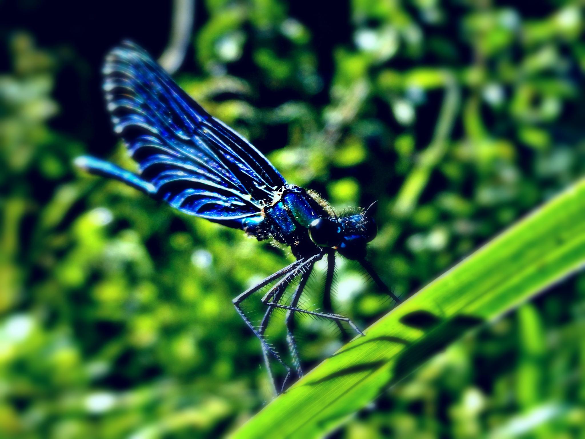dragonfly by Moldovan Csaba
