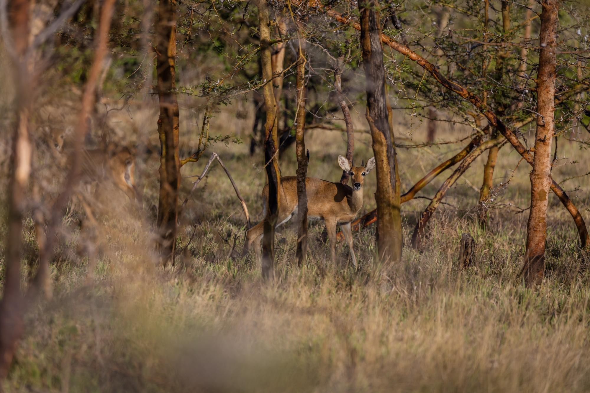 Deer of Saadani  by Mwinyi Bakari Mweri