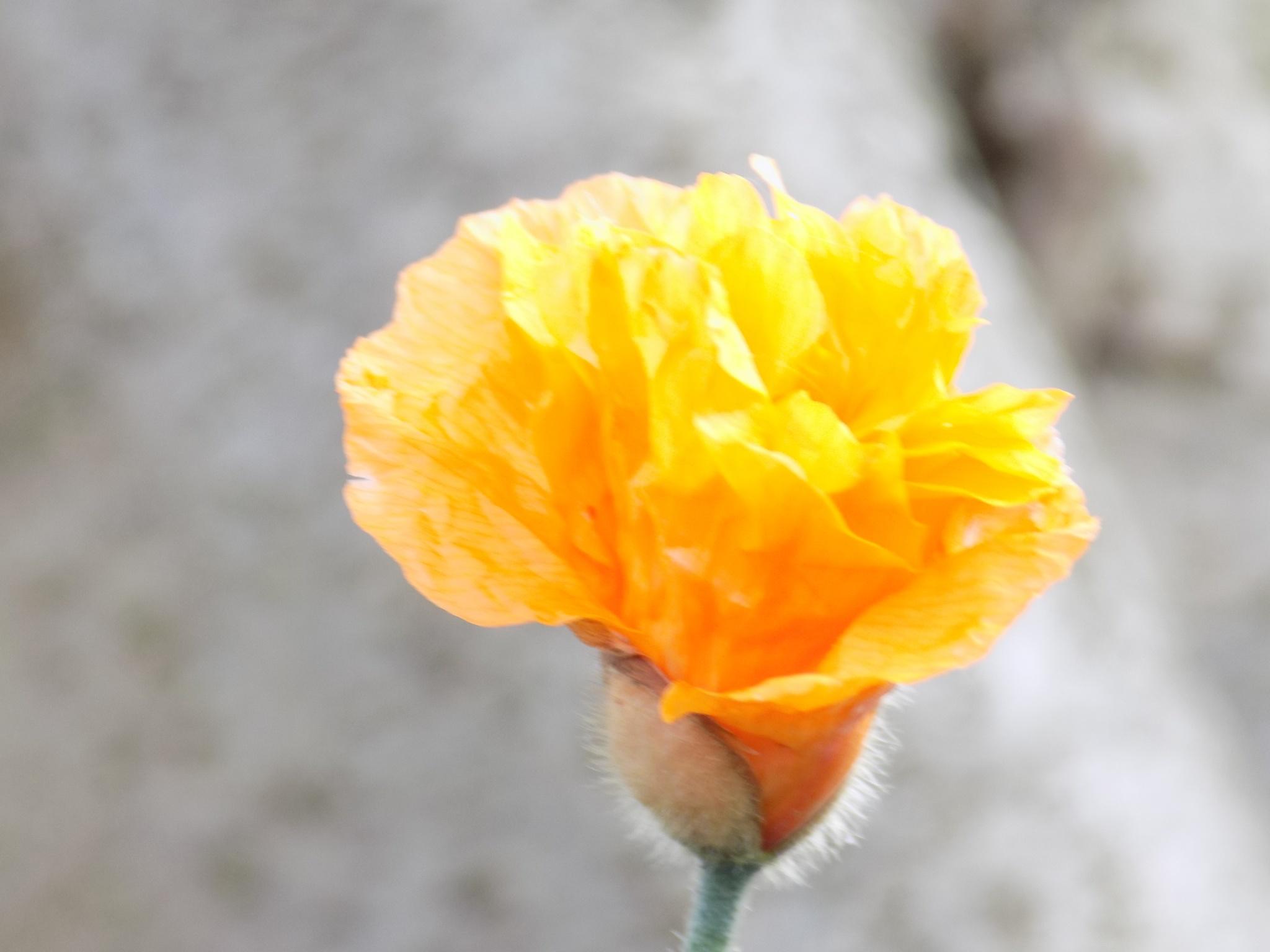 poppy by Elaine Twyman