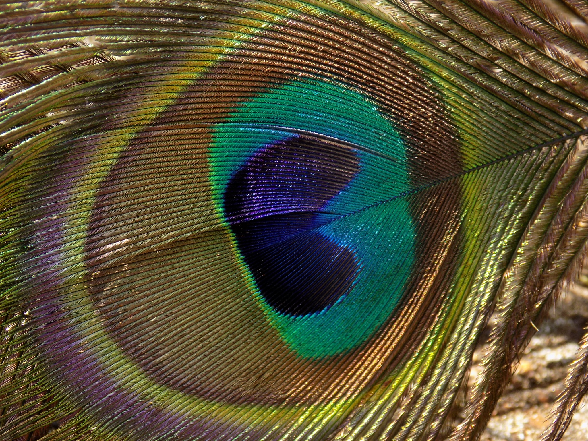 Peacock feather by Elaine Twyman