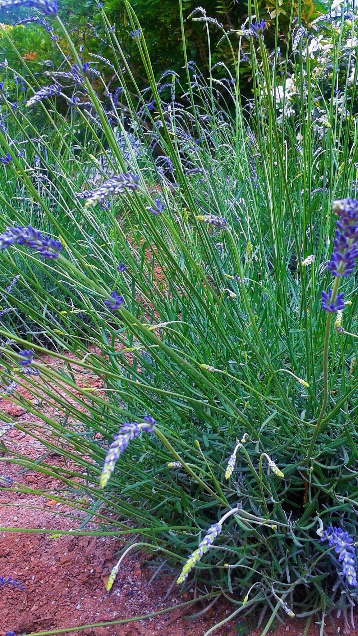 Lavender by Julie Piwaron