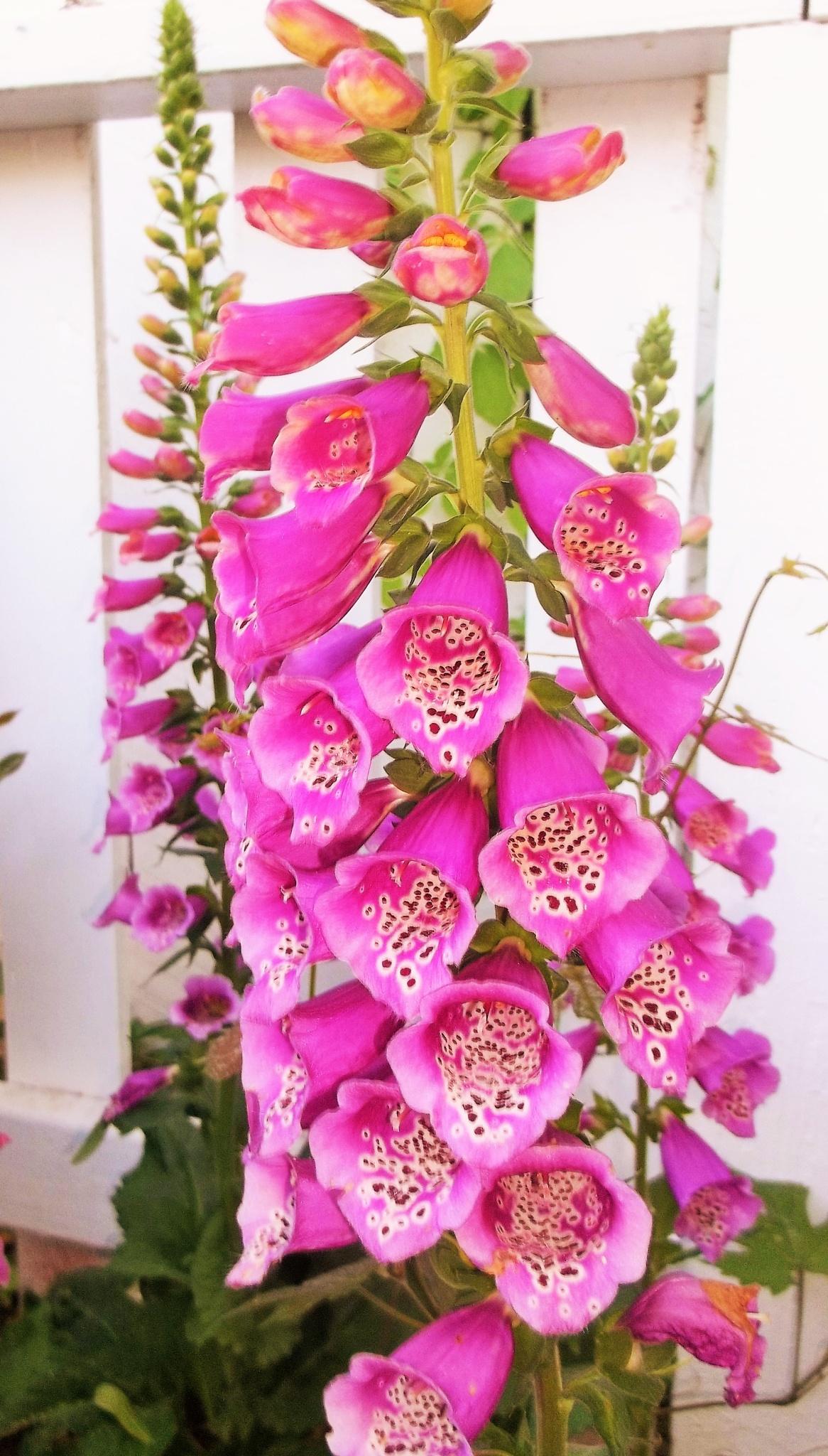 Pink Foxglove by Julie Piwaron