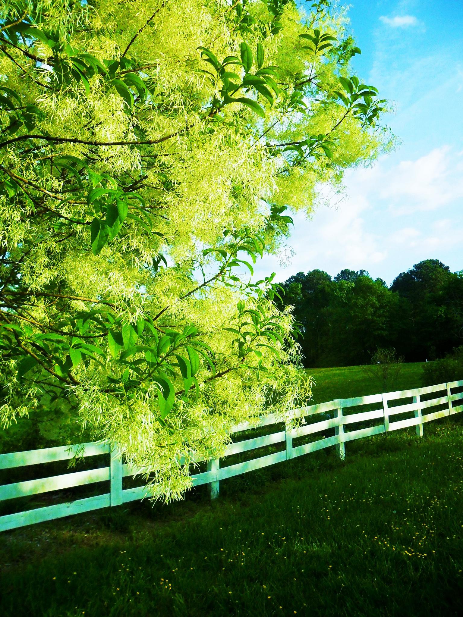 Fringe Tree by Julie Piwaron