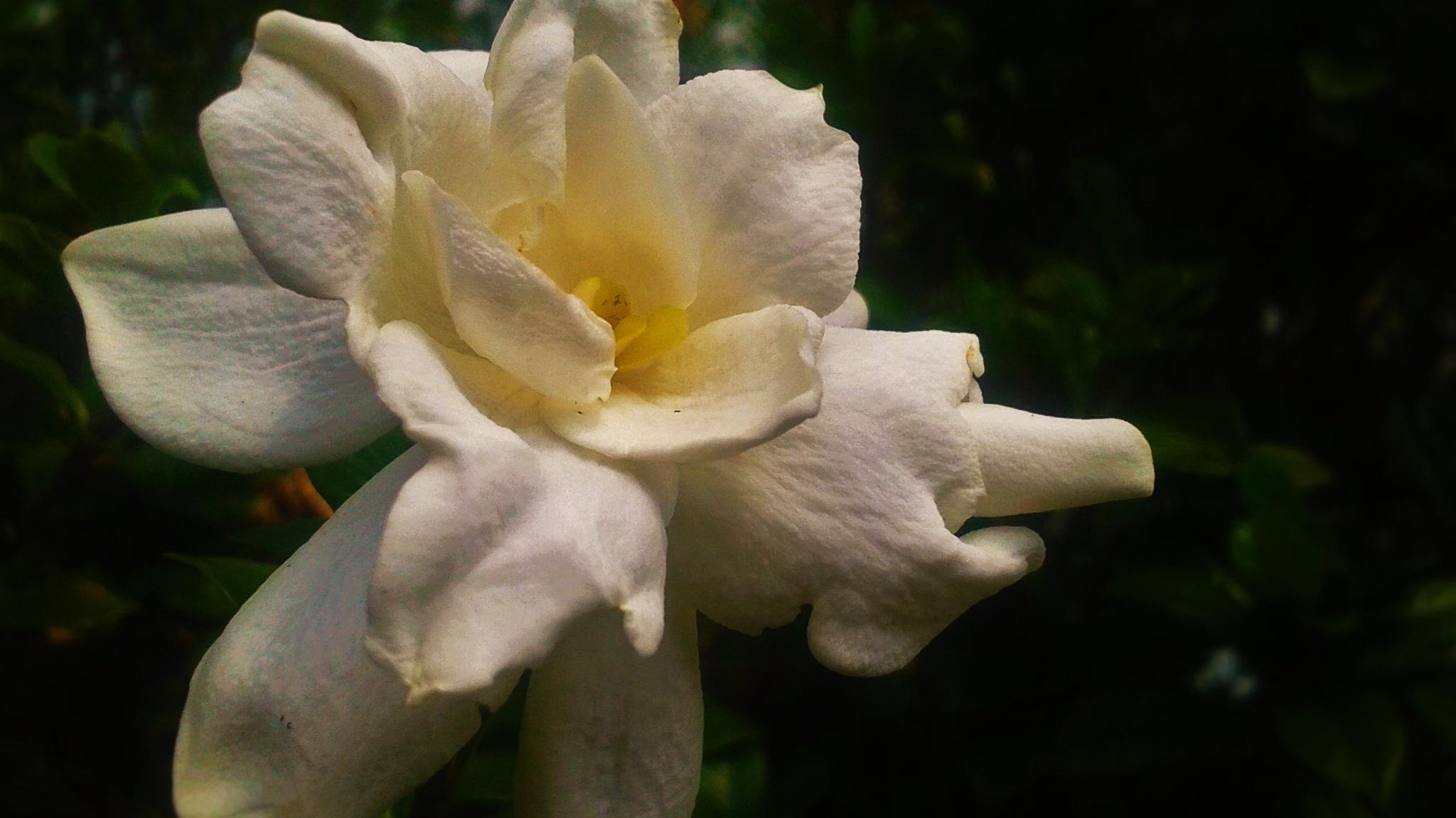 The Ever Fragrant Gardenia by Julie Piwaron
