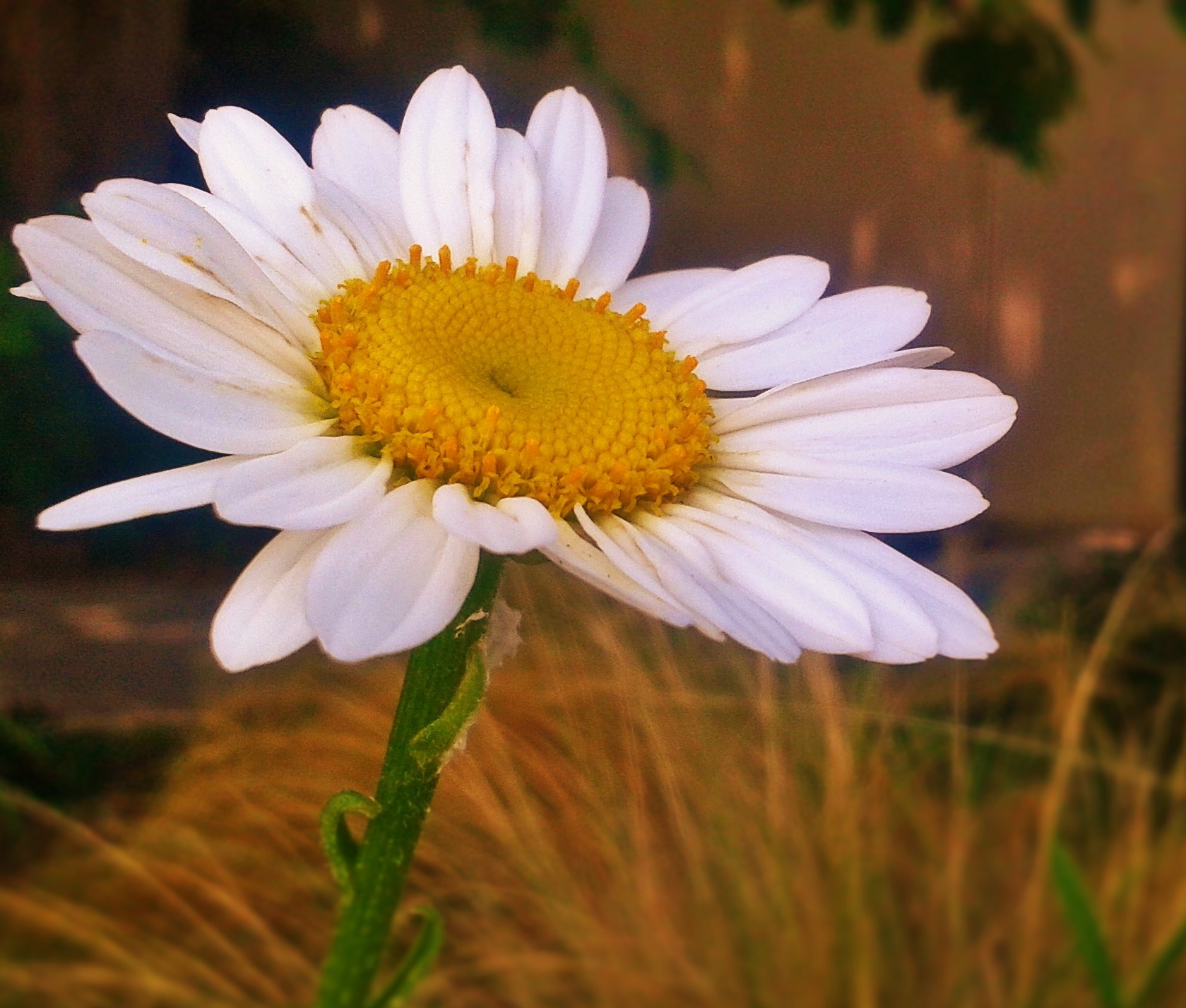 Joyful Daisy by Julie Piwaron