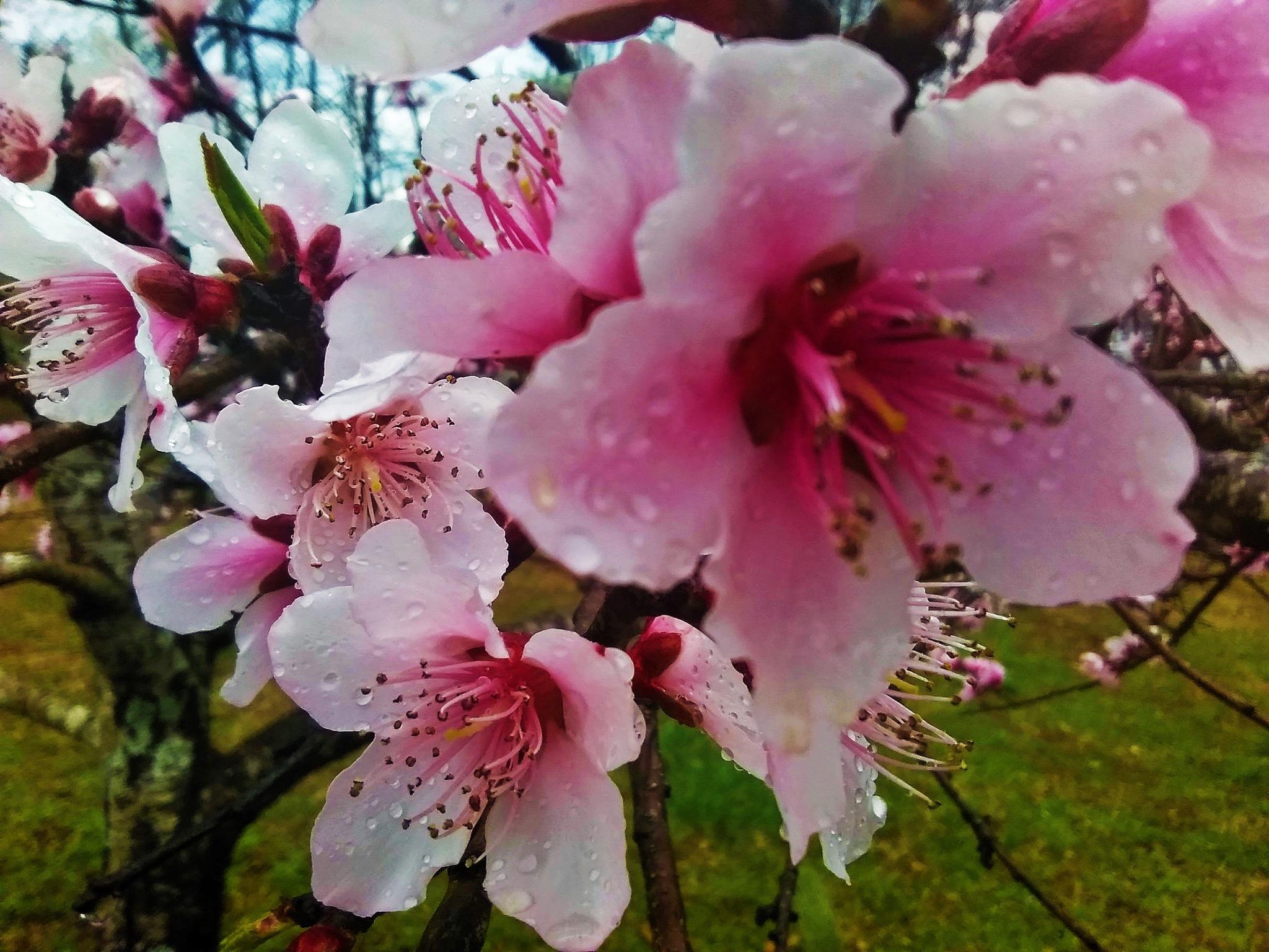 Peach Blossoms by Julie Piwaron