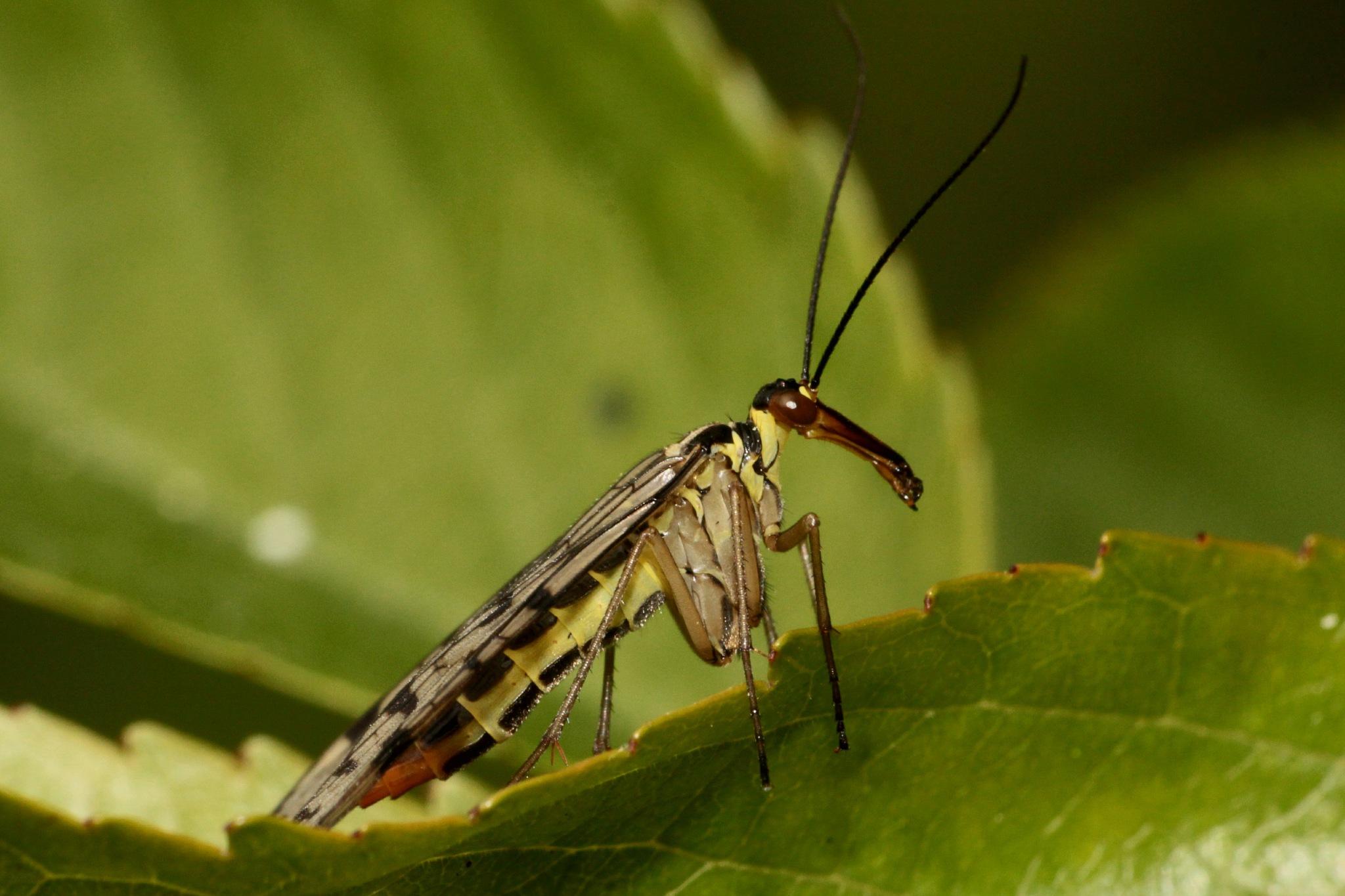 Scorpion Fly by geraniumpratense