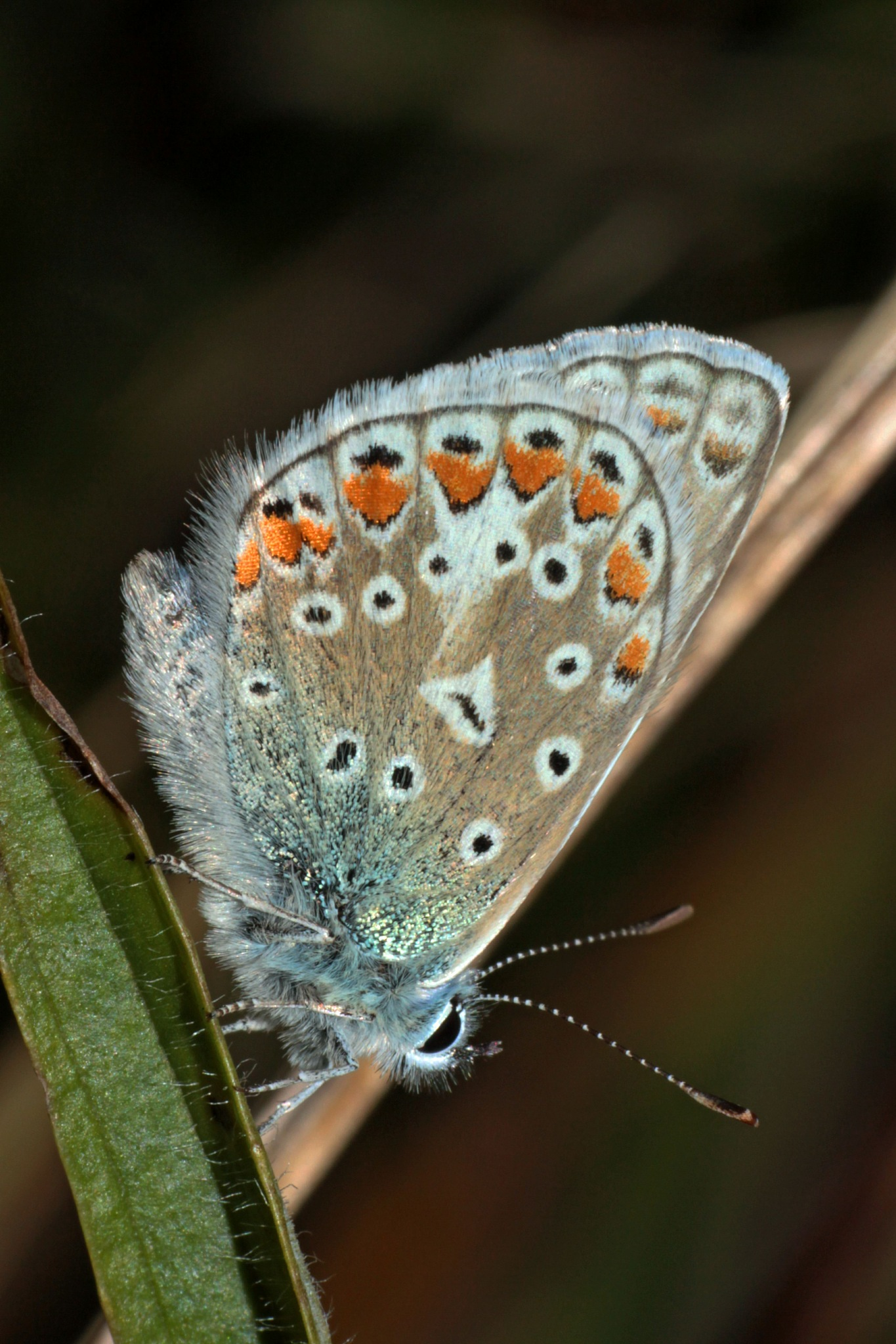 Common Blue Butterfly by geraniumpratense