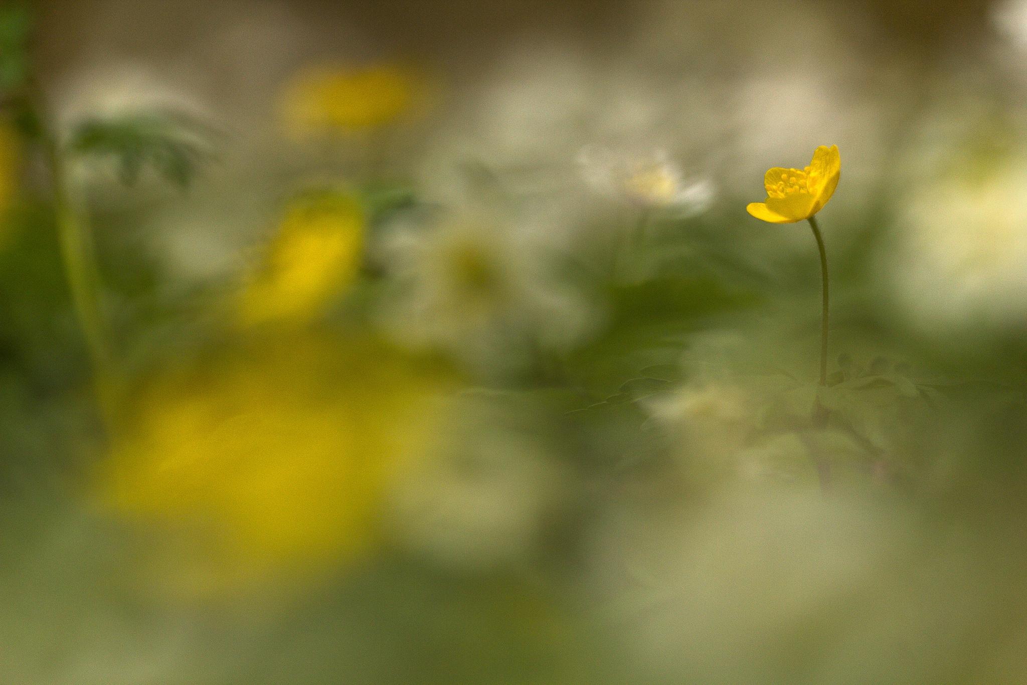 Field of flowers by Håkan Liljenberg