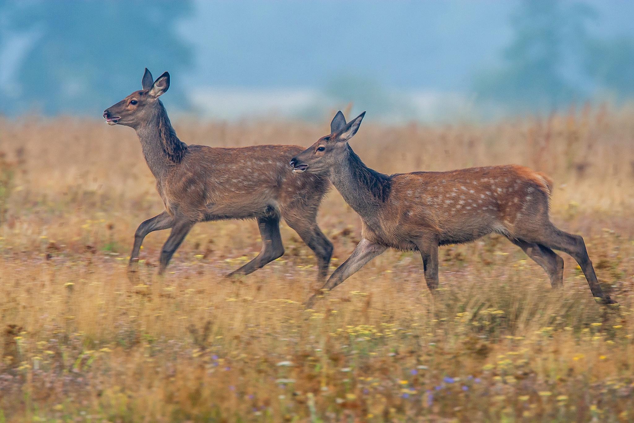 Running deer by Håkan Liljenberg
