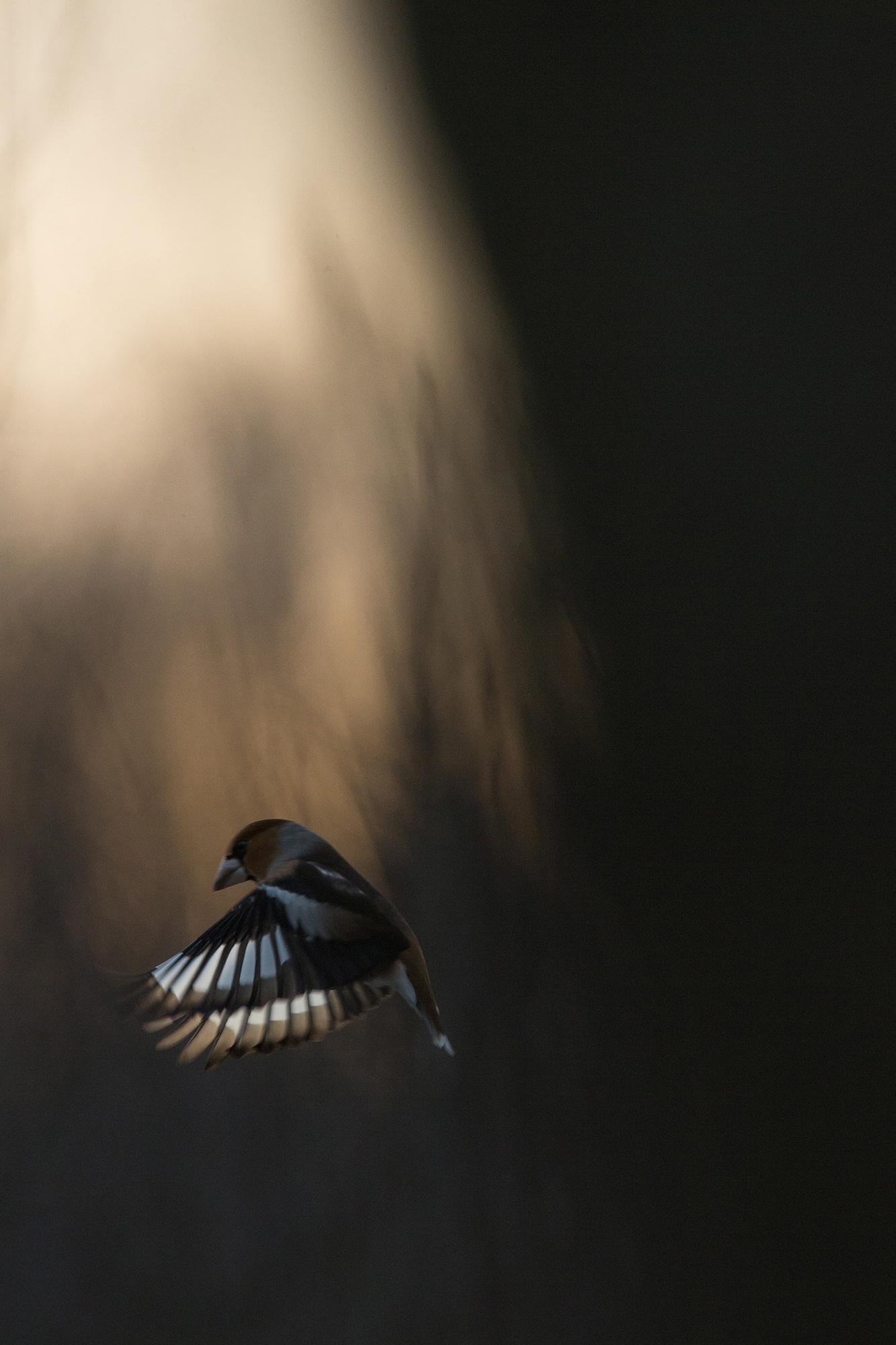 Hawfinch by Håkan Liljenberg