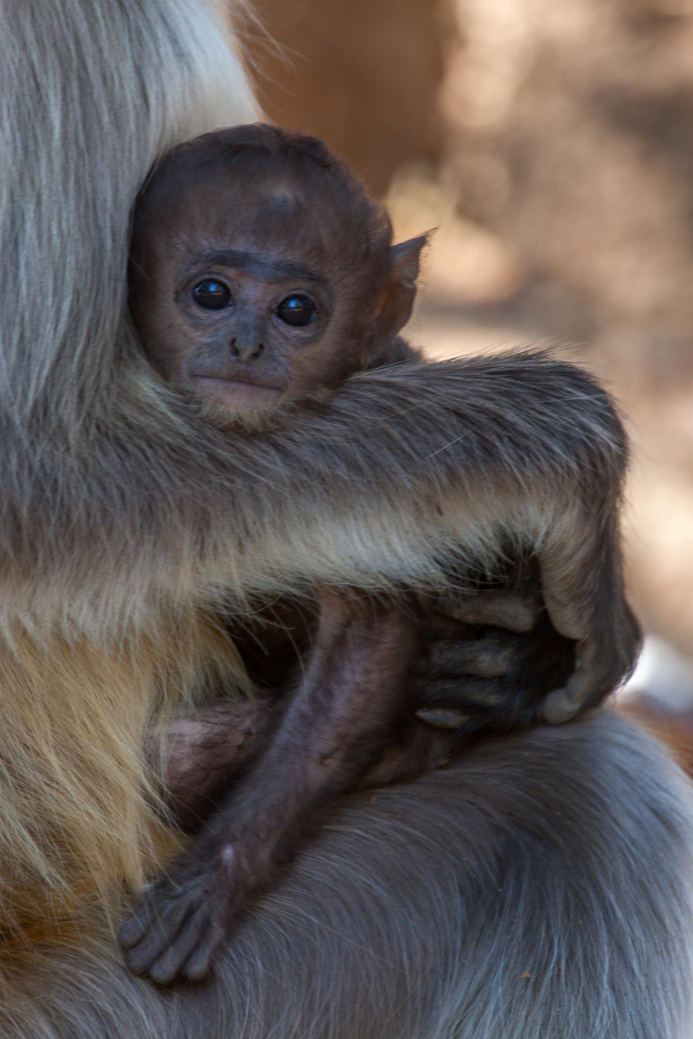 Hanuman baby by Håkan Liljenberg