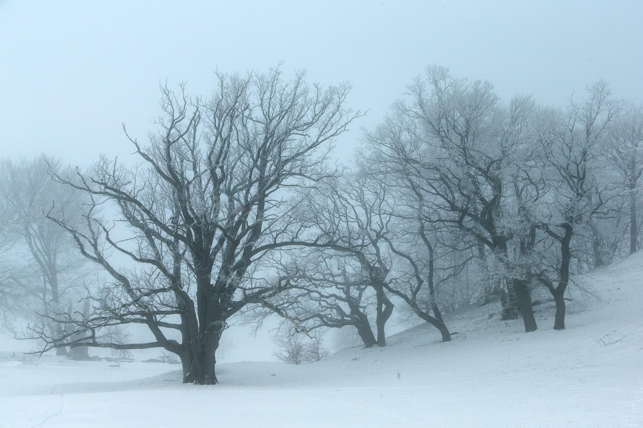 Winter trees by Håkan Liljenberg