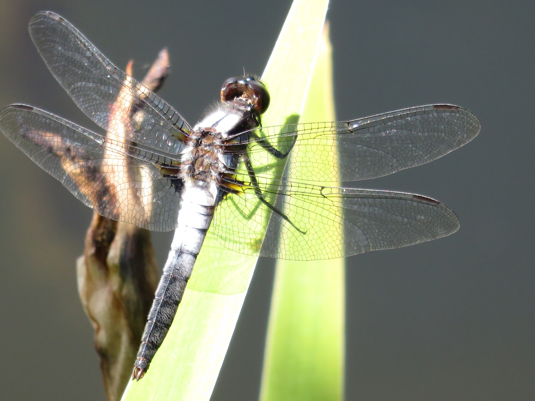 dragonfly by Q6 photography