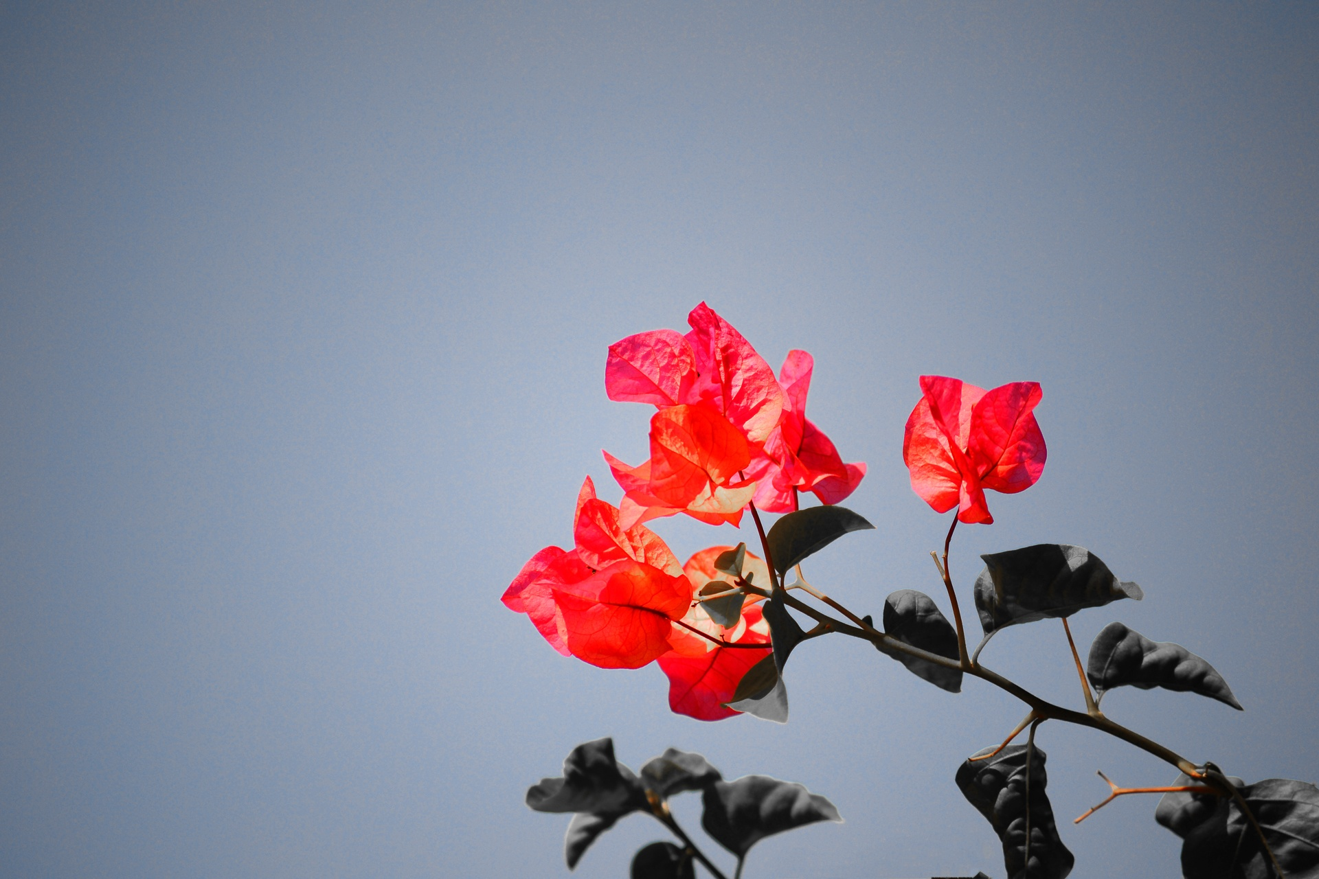 Bougainvillea  by Mohamed Nuzrath