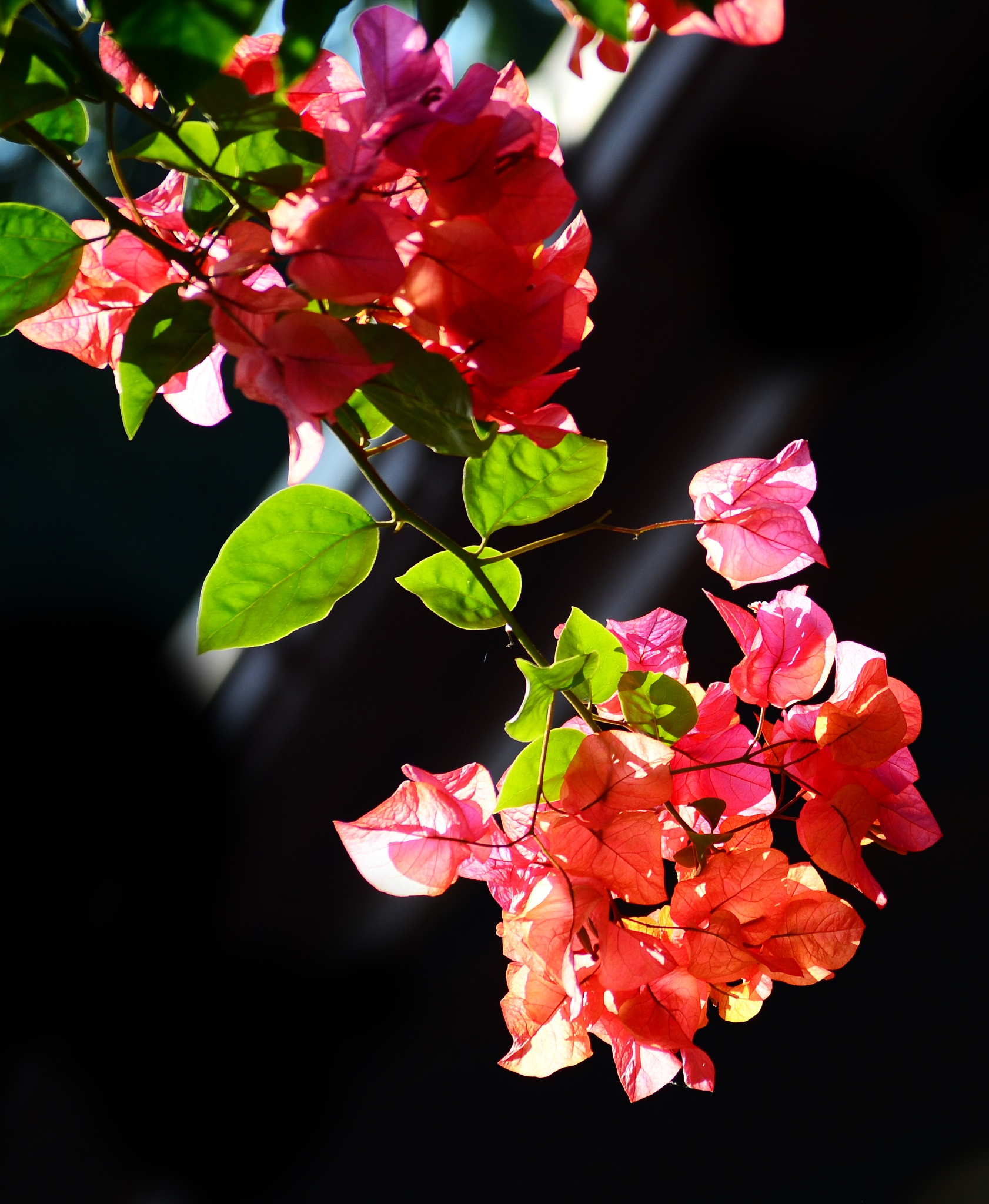 Photo in Still Life #bougainvillea #flowers #blossoms #blossom #nature #wild #garden #petals #leafs #sky #sunlight