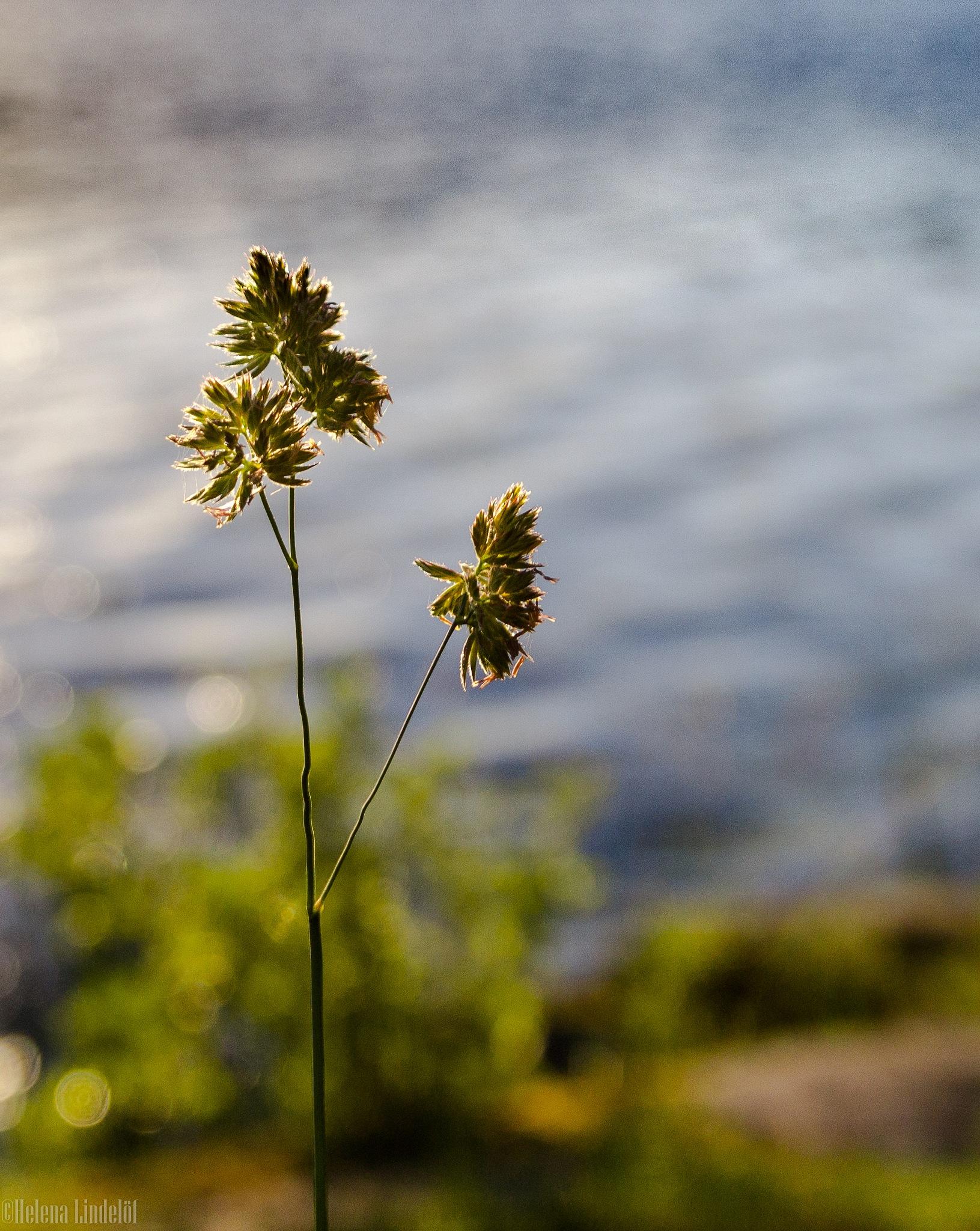 Grass by Helena Lindelöf