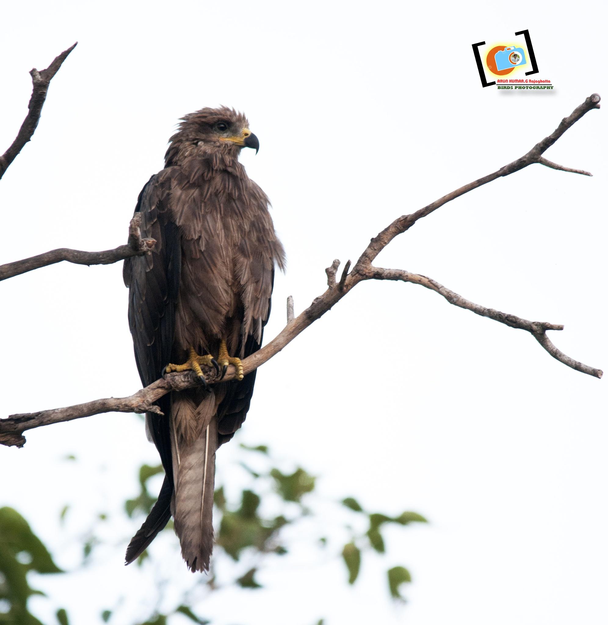 Black Kite by Arunkumar.G