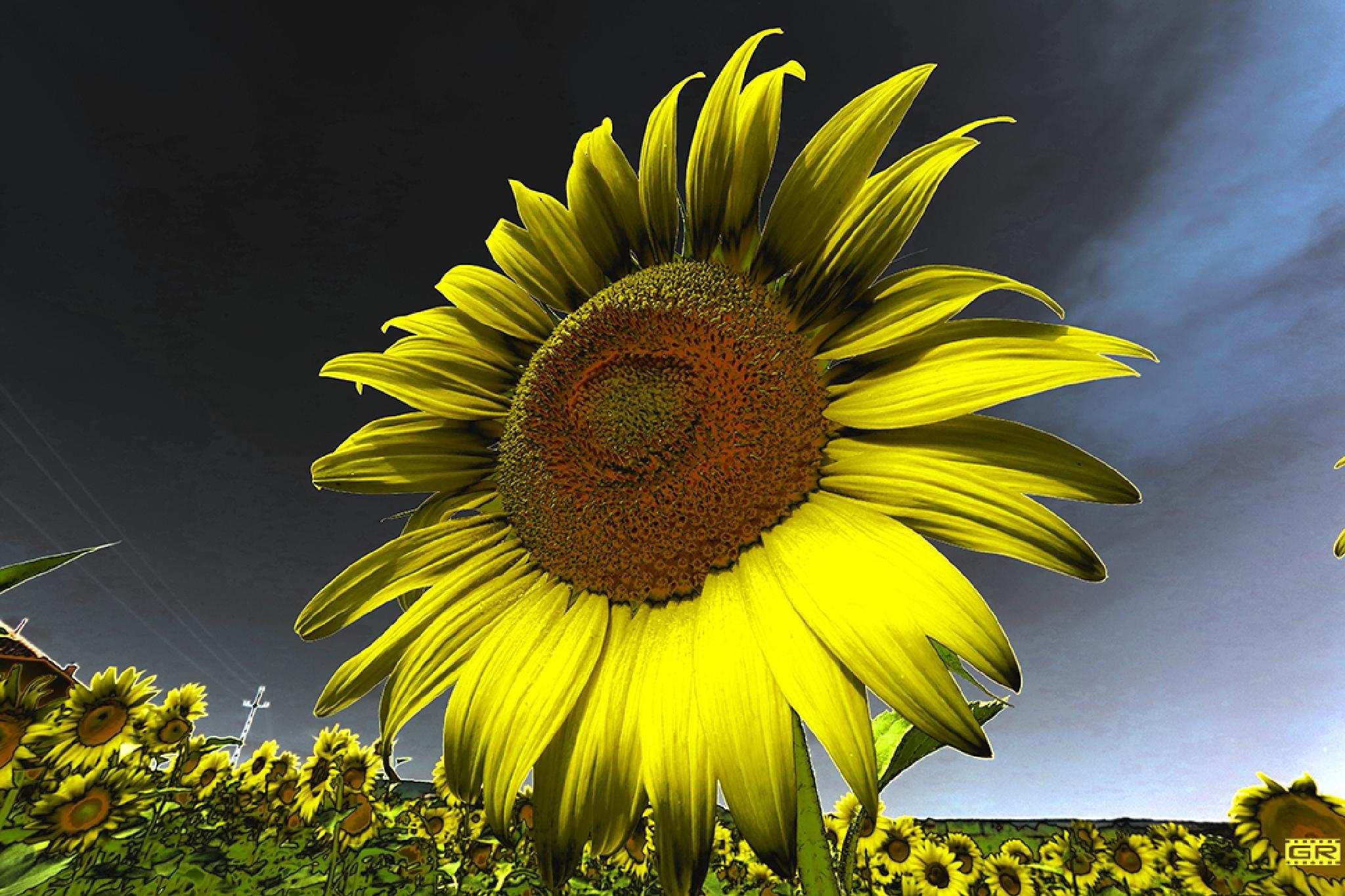 sunflower evening by Róbert Gecsényi