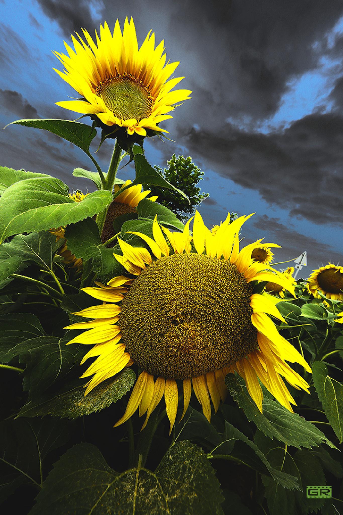 sunflower evening 3 by Róbert Gecsényi