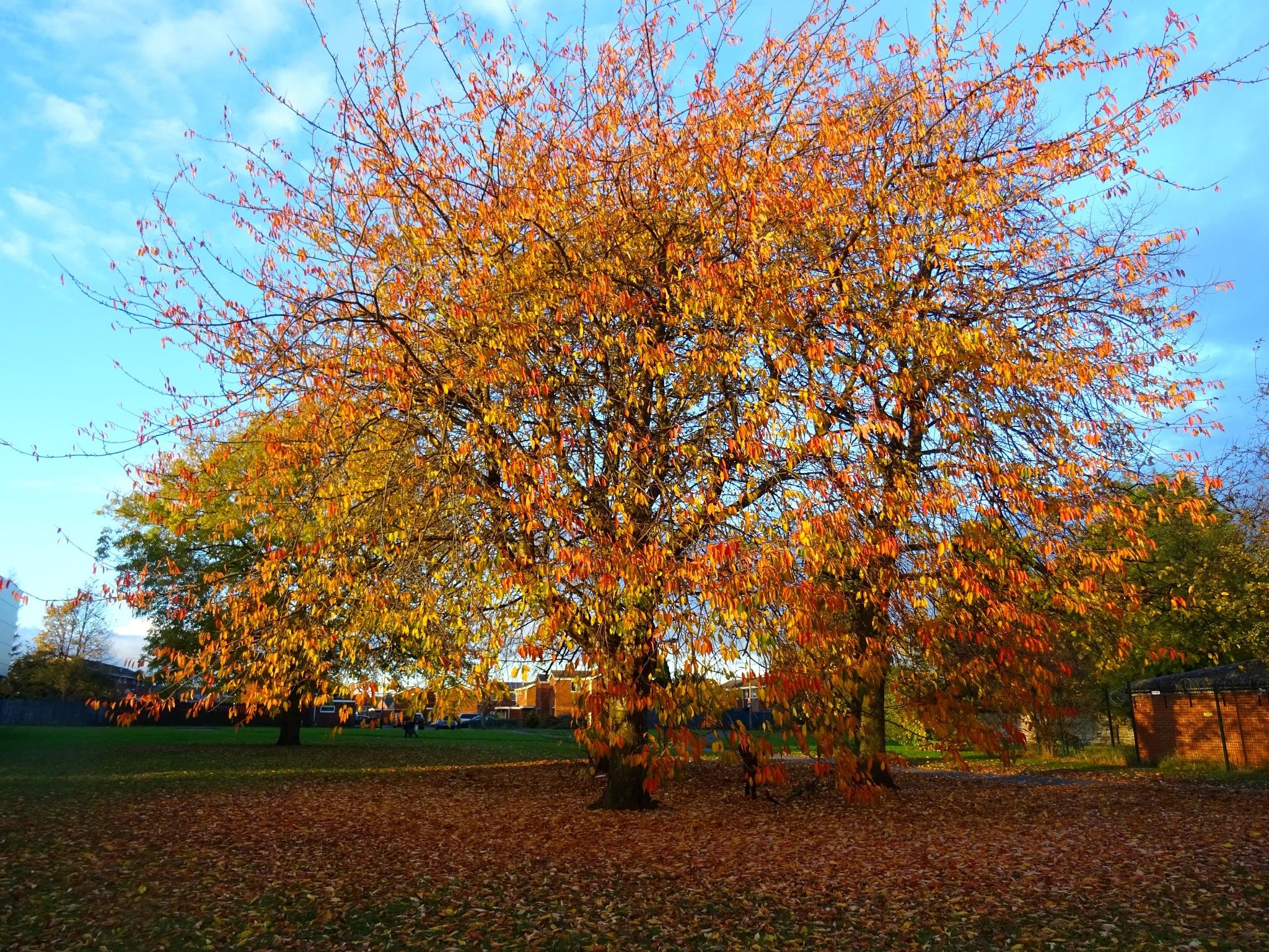 Stunning autumn tree by HelenKir