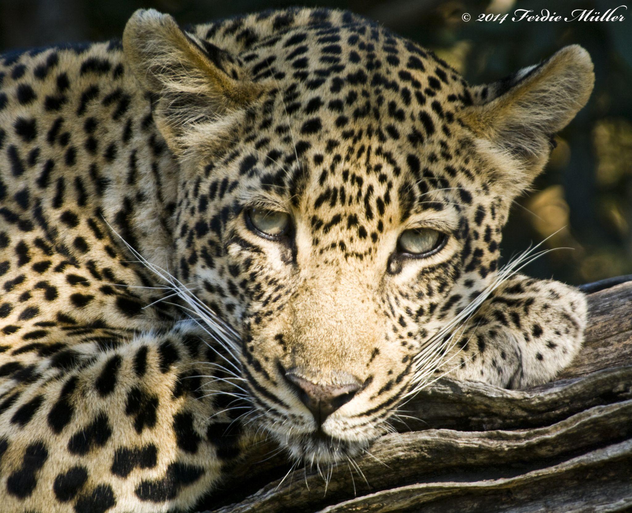 Leopard by Ferdie Muller