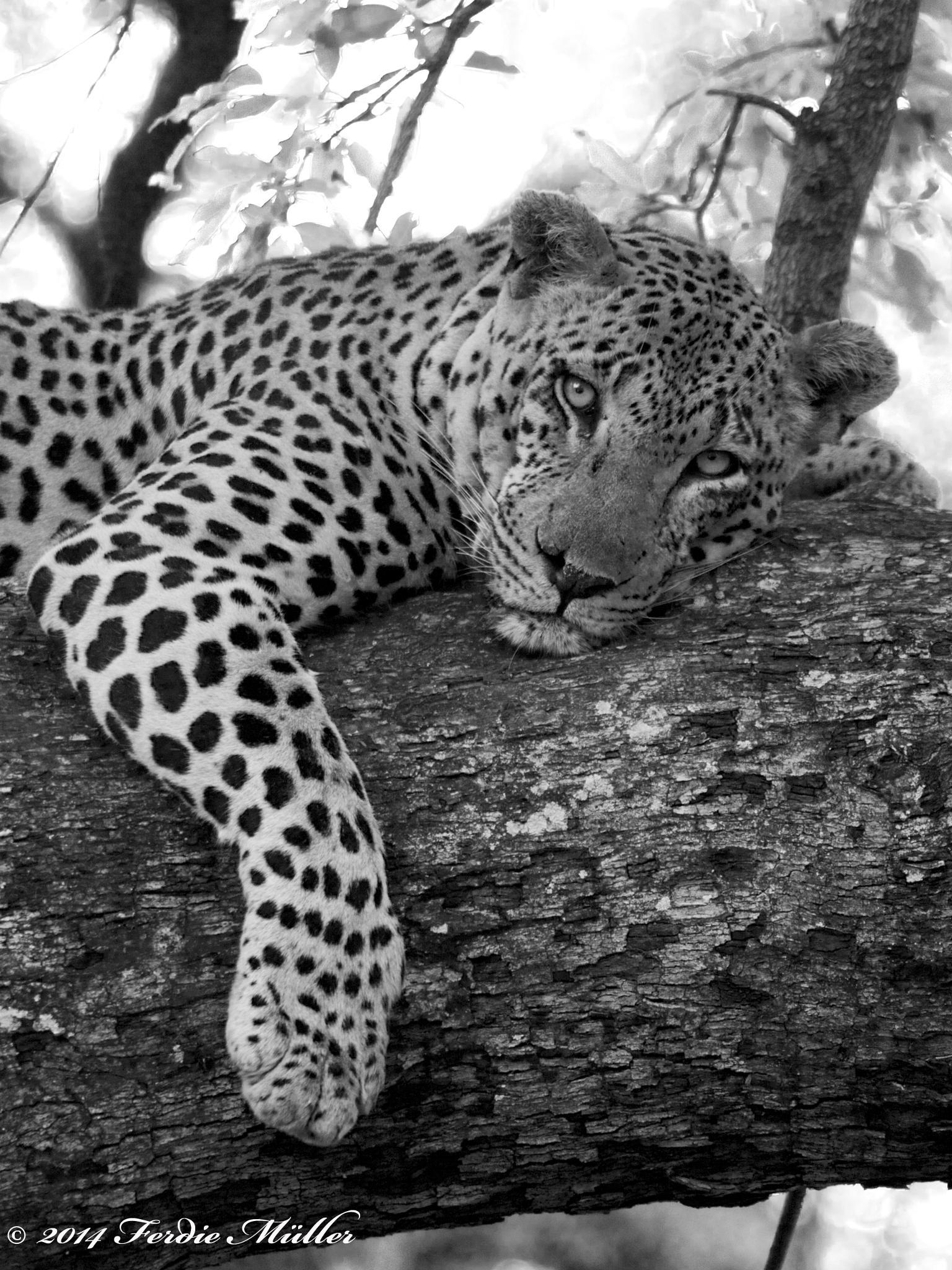 B&W Leopard by Ferdie Muller