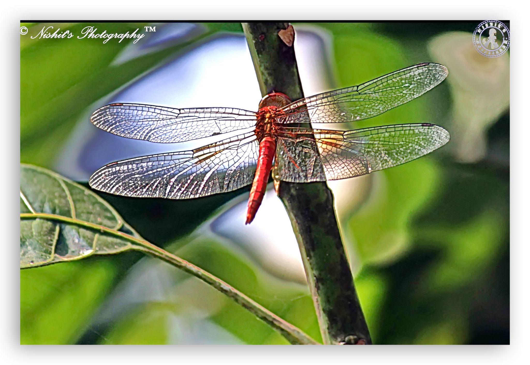 The Dragonfly by Nishit Dey