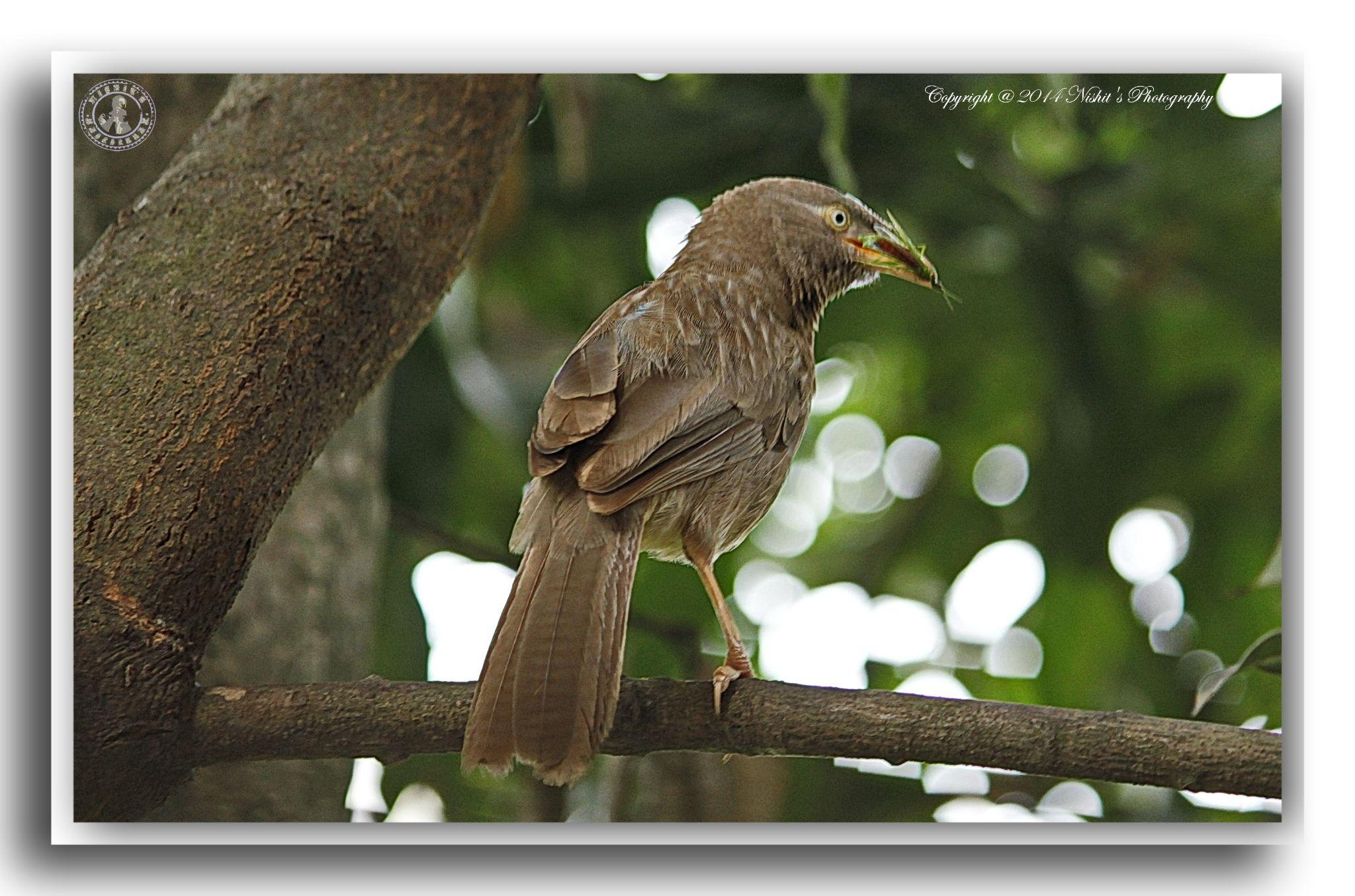 Babblers, Indian Birds by Nishit Dey