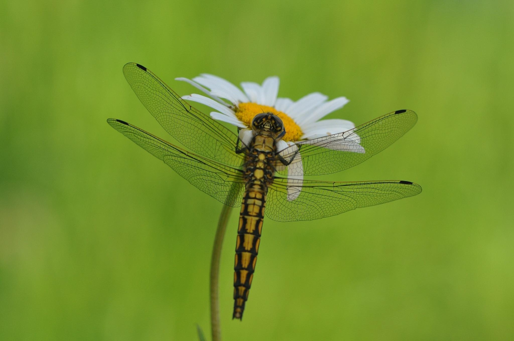 dragonfly by Ruurd Visser