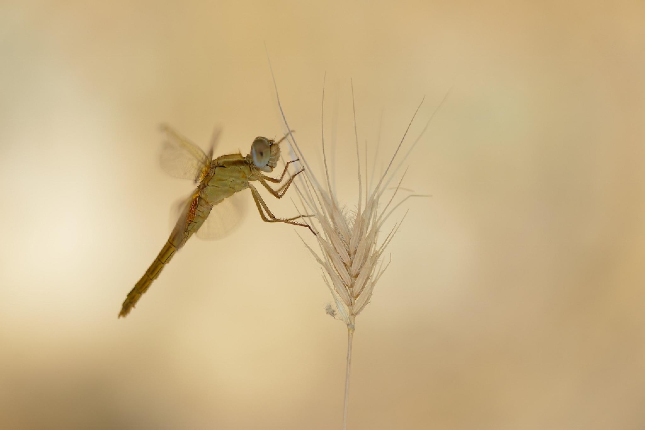 dragonfly by Ruurd Visser