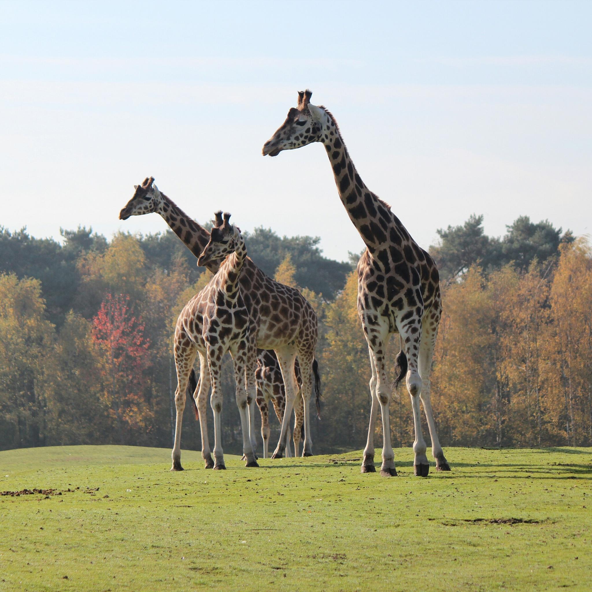 Photo in Random #giraf #giraffe