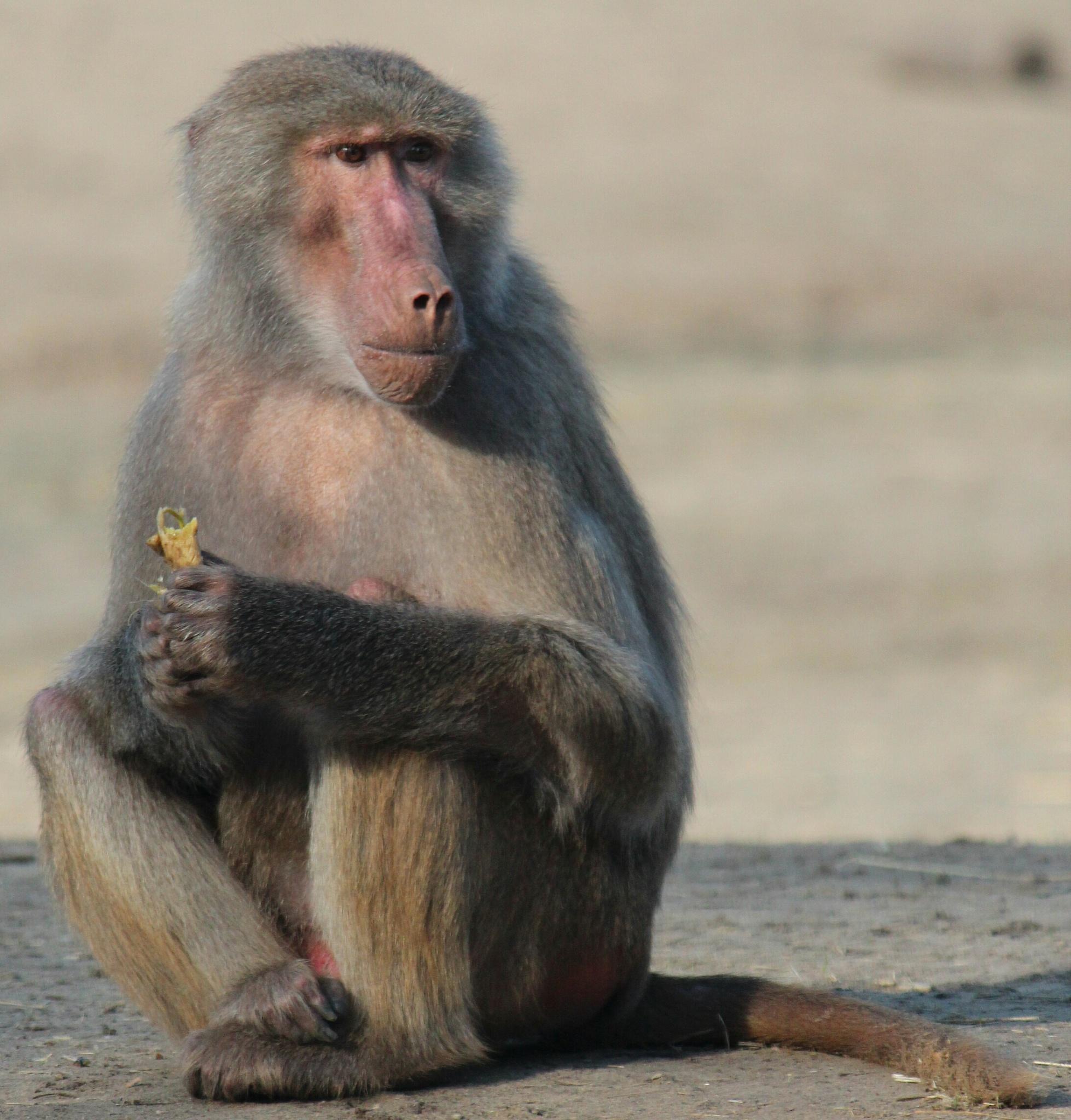 baboon by barthendriksanimalphotography