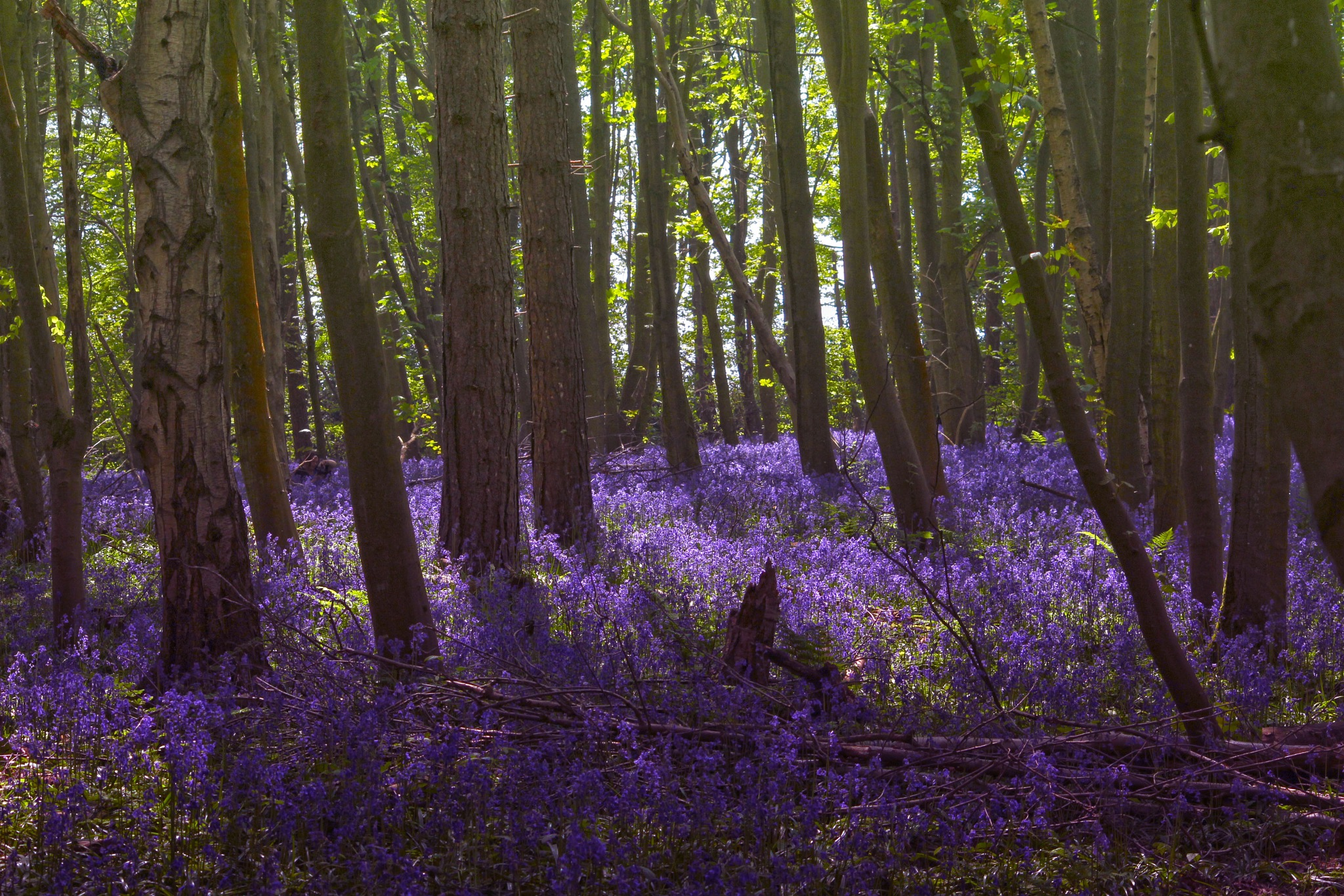 Looking at a Carpet of Purple Beauty by Mark Pemberton